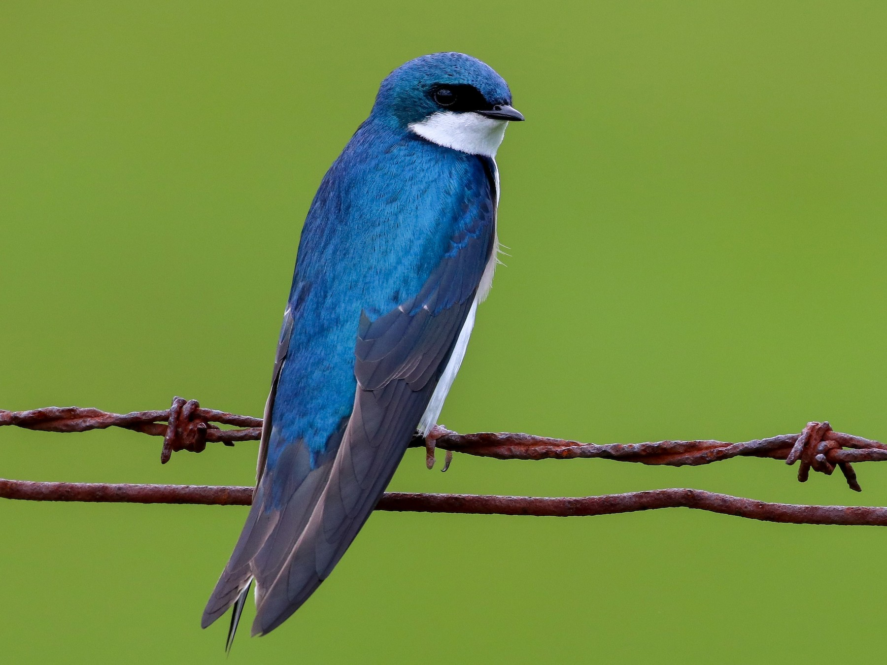 Tree Swallow - Martina Nordstrand