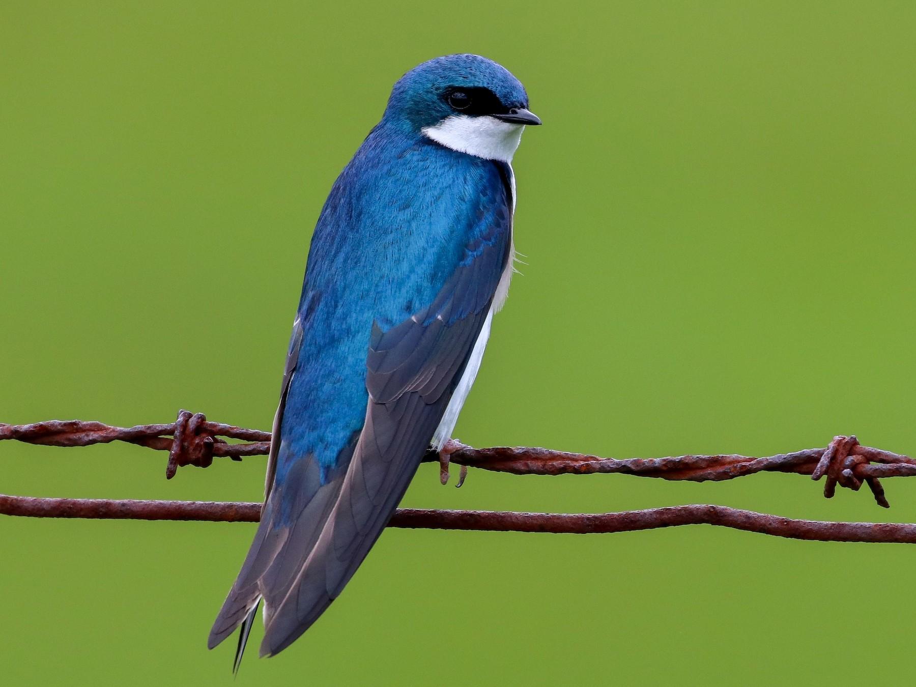 Tree Swallow - Martina Nordstrand
