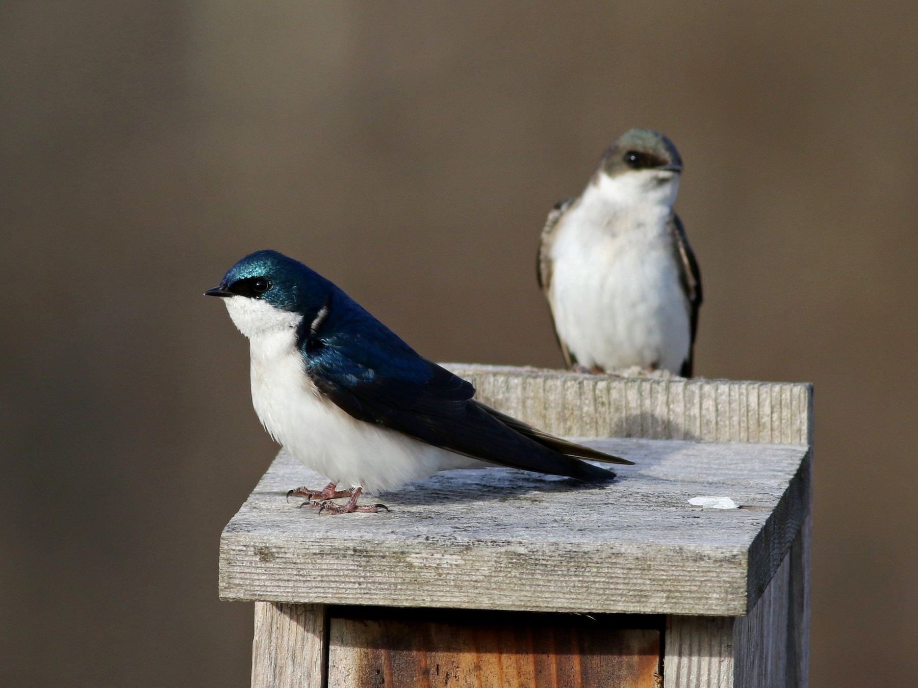Tree Swallow - Jay McGowan