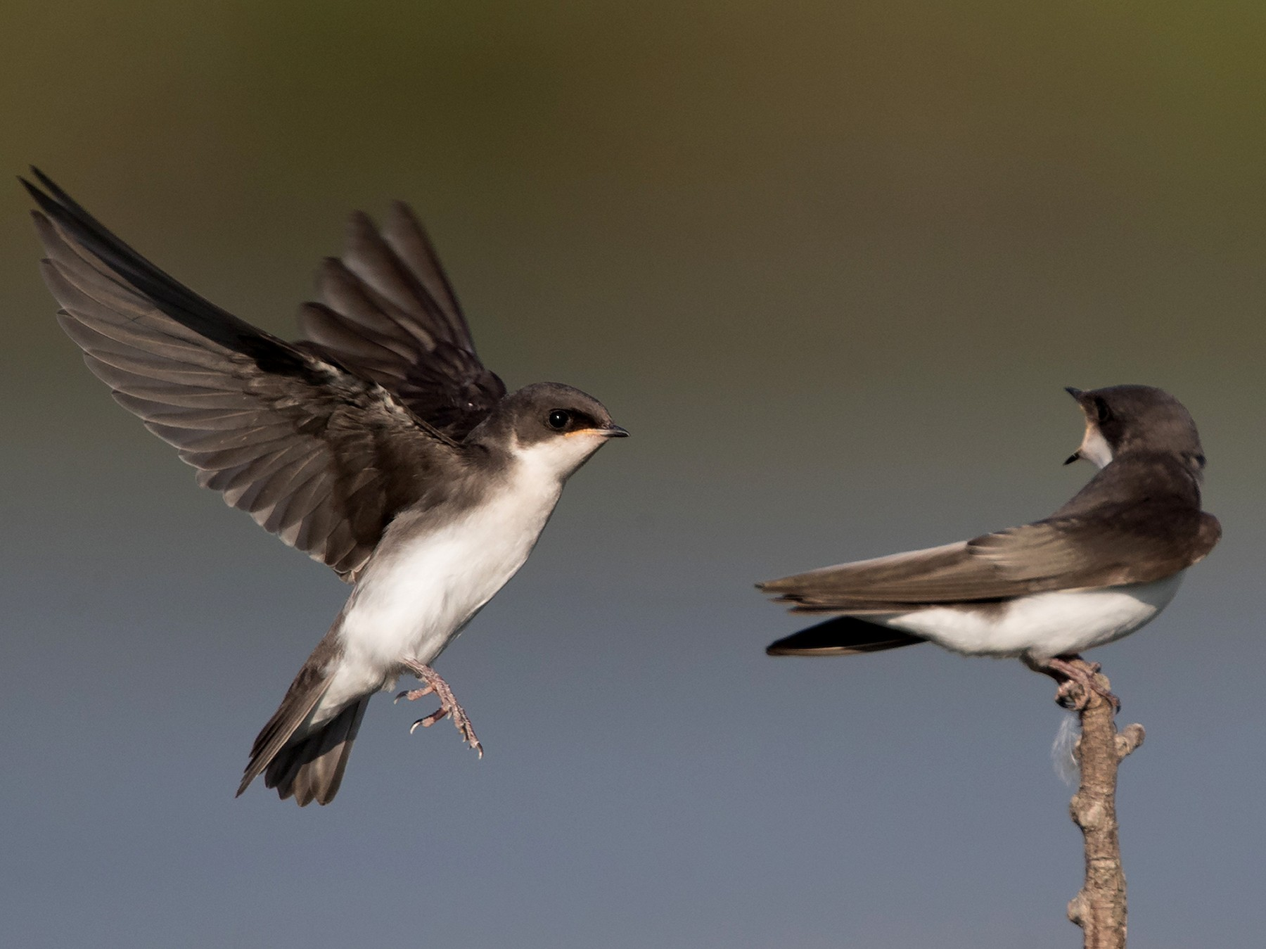 Tree Swallow - Brendan Klick