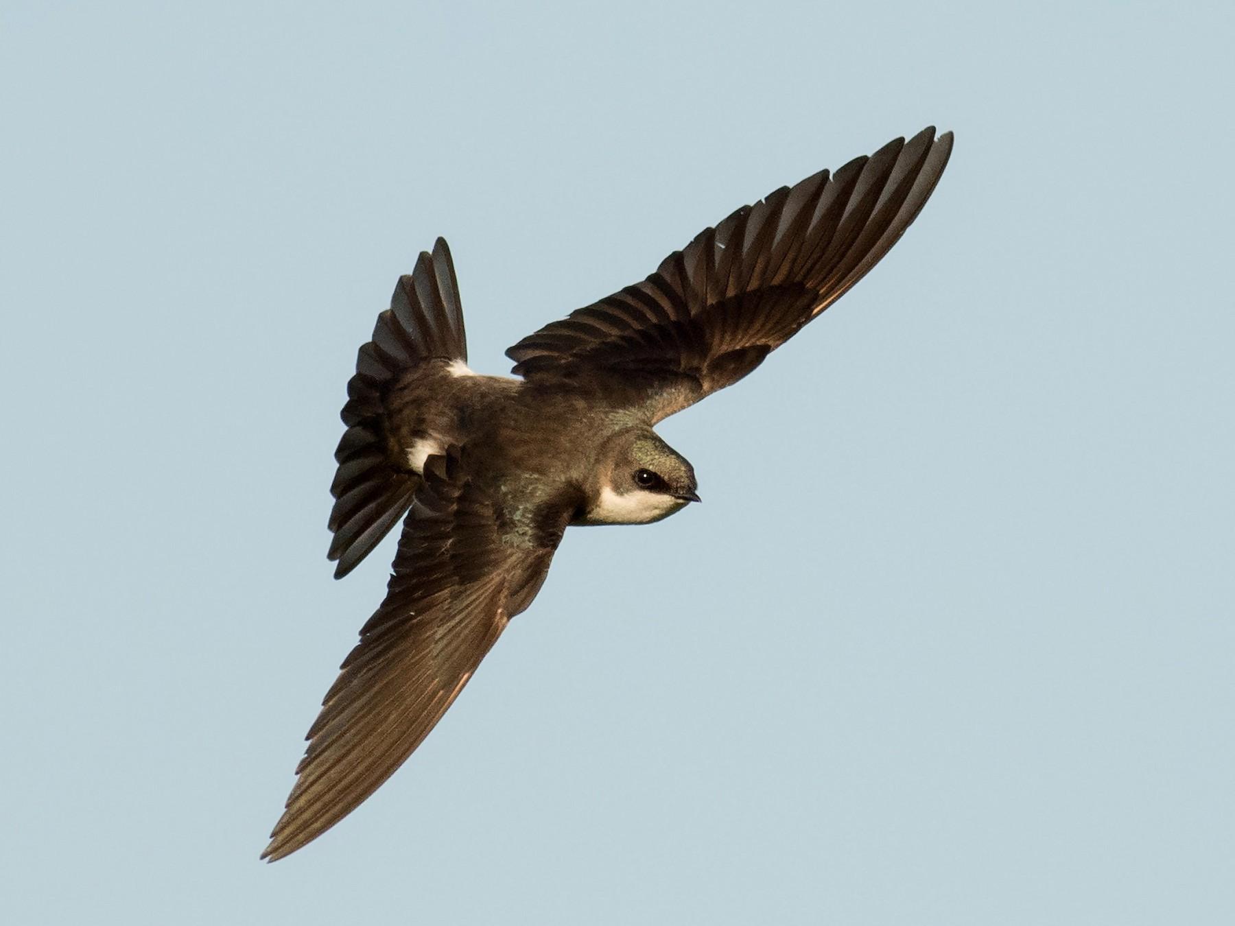 Tree Swallow - August Davidson-Onsgard