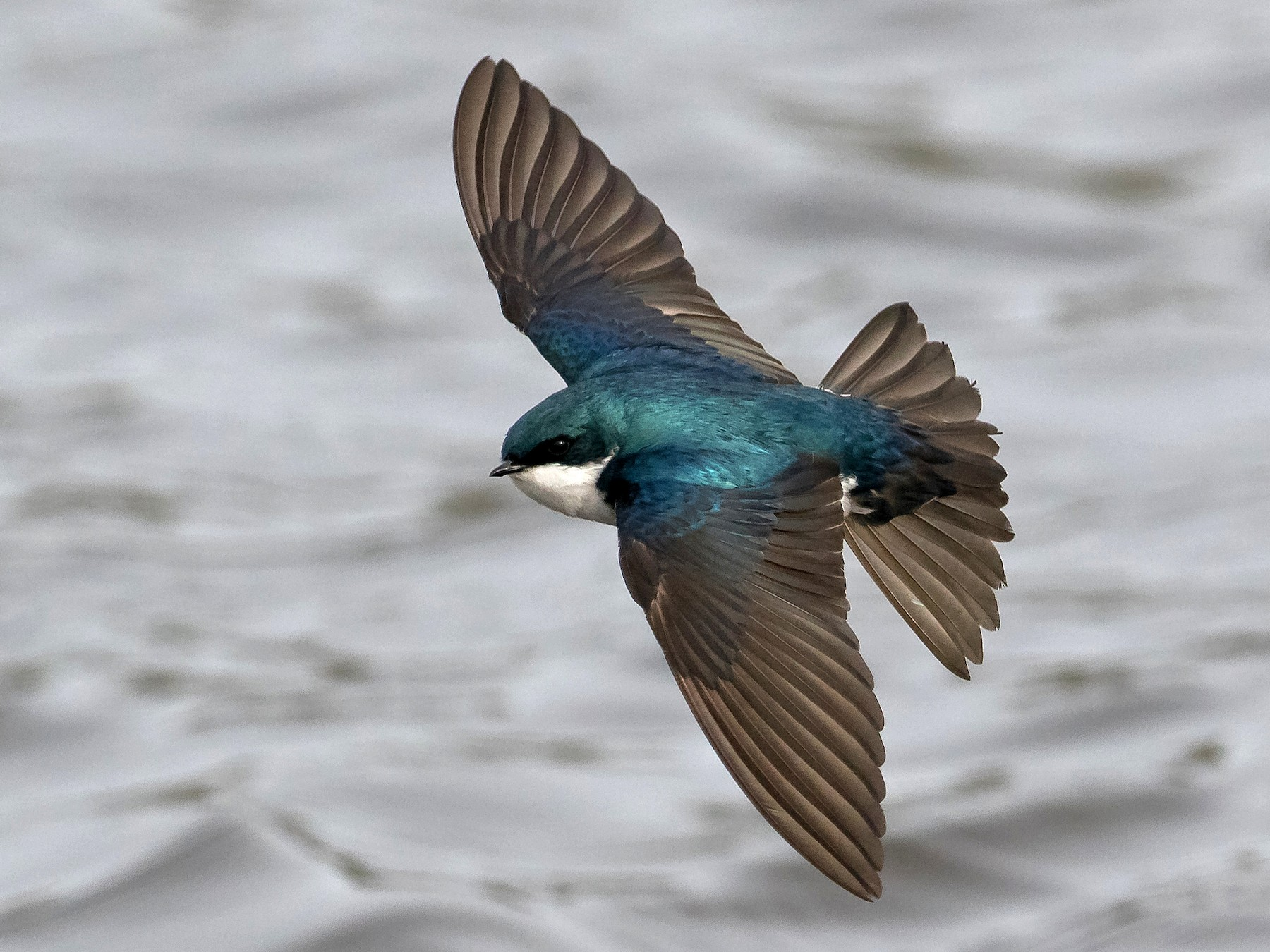 Tree Swallow - Lorri Howski