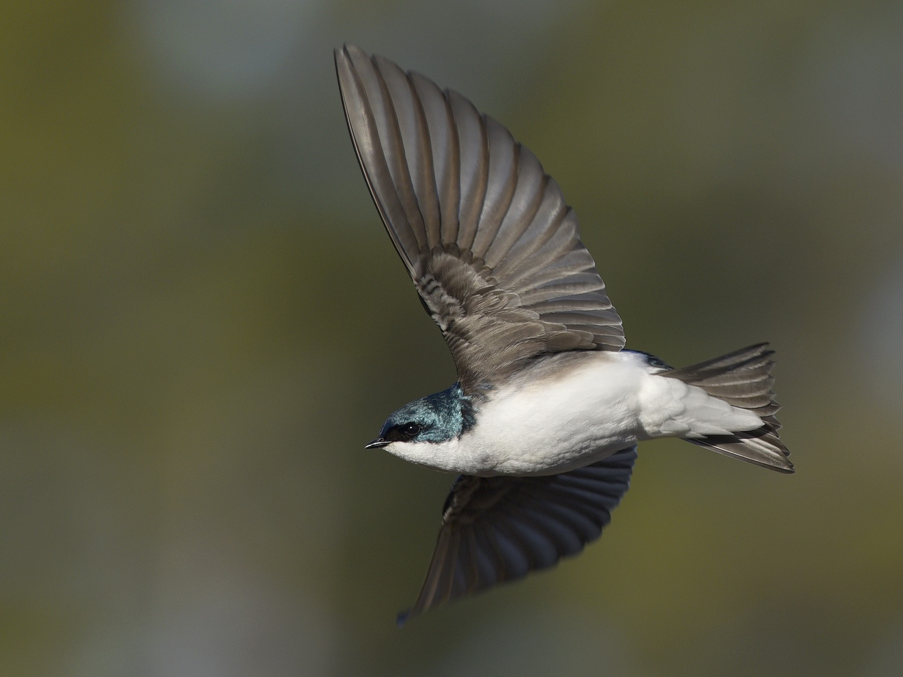 Tree Swallow - Daniel Irons