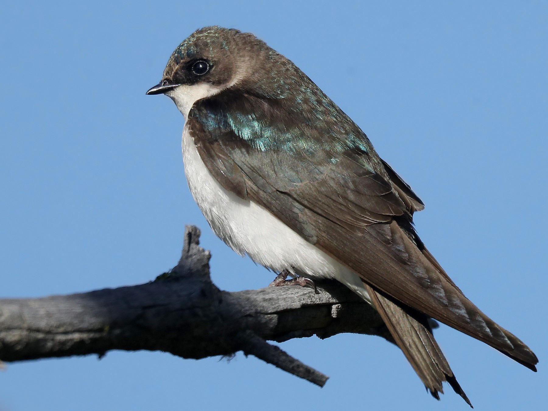 Tree Swallow - Matt Davis