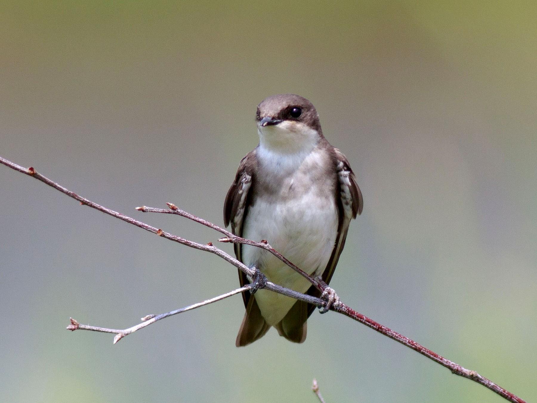 Tree Swallow - andrew aldrich