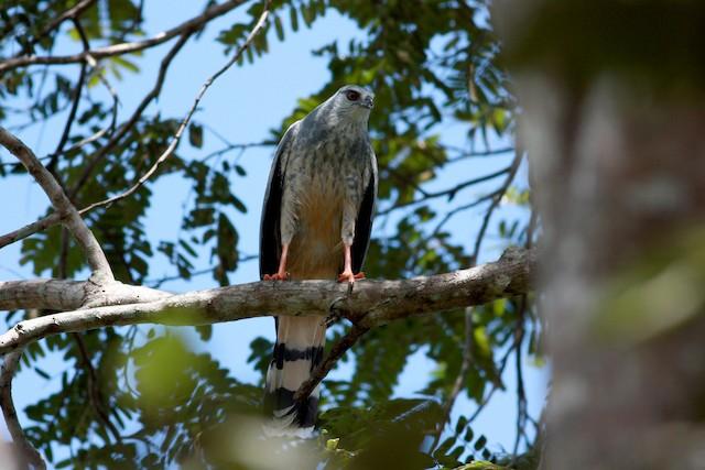 Crane Hawk (Gray)