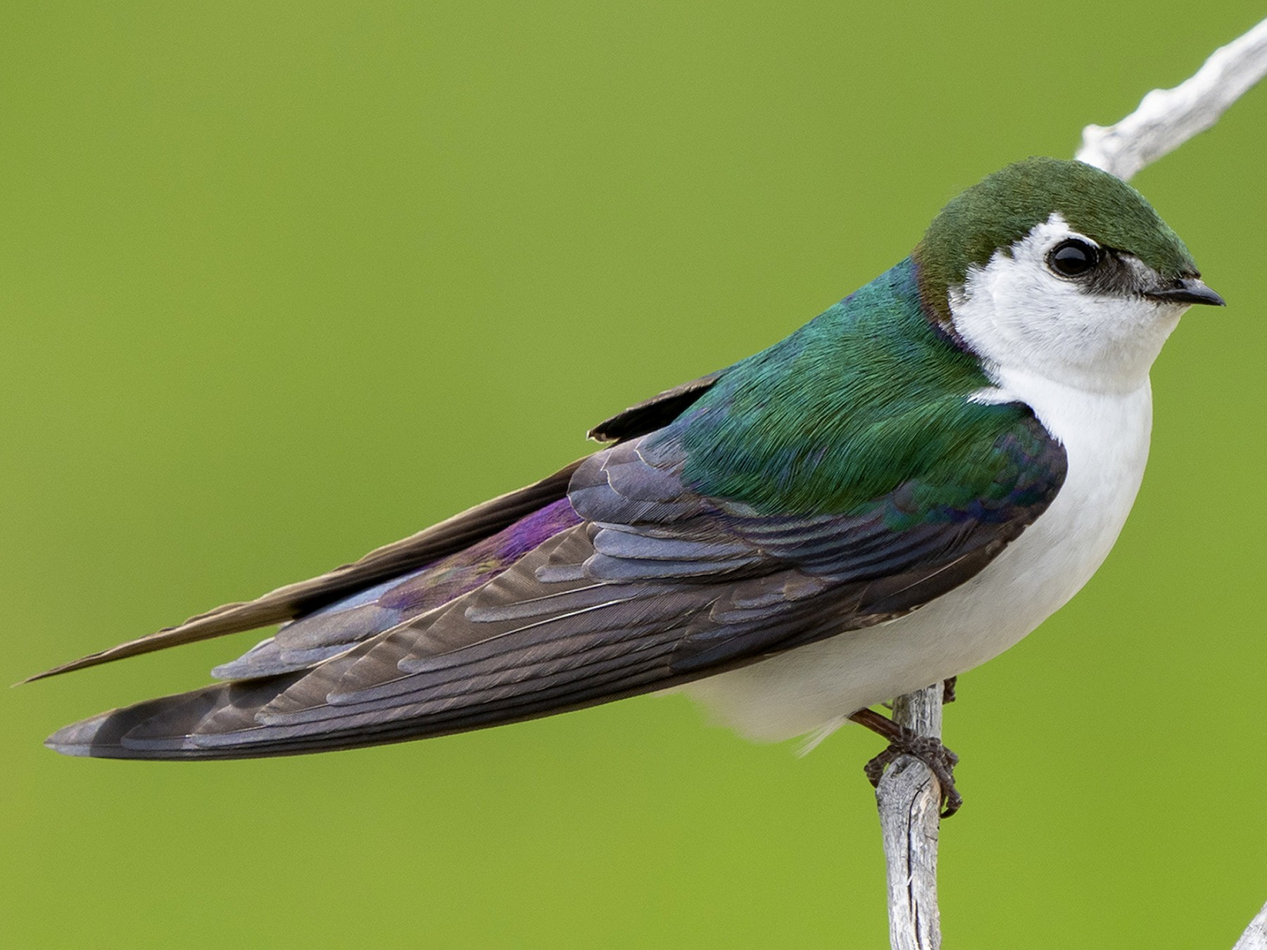 Violet-green Swallow - Joshua Covill
