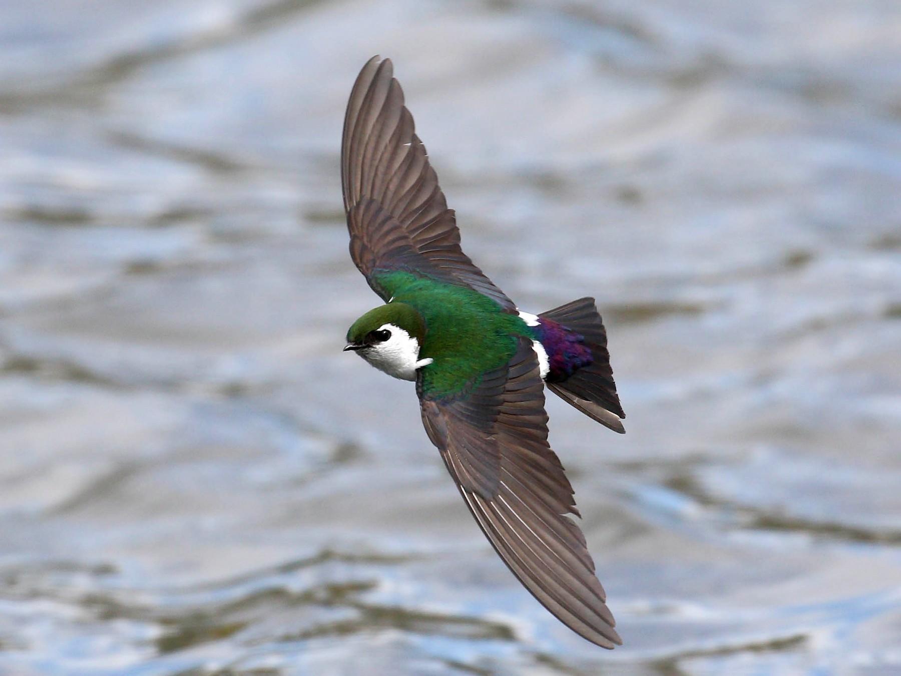 Violet-green Swallow - Alex Lamoreaux