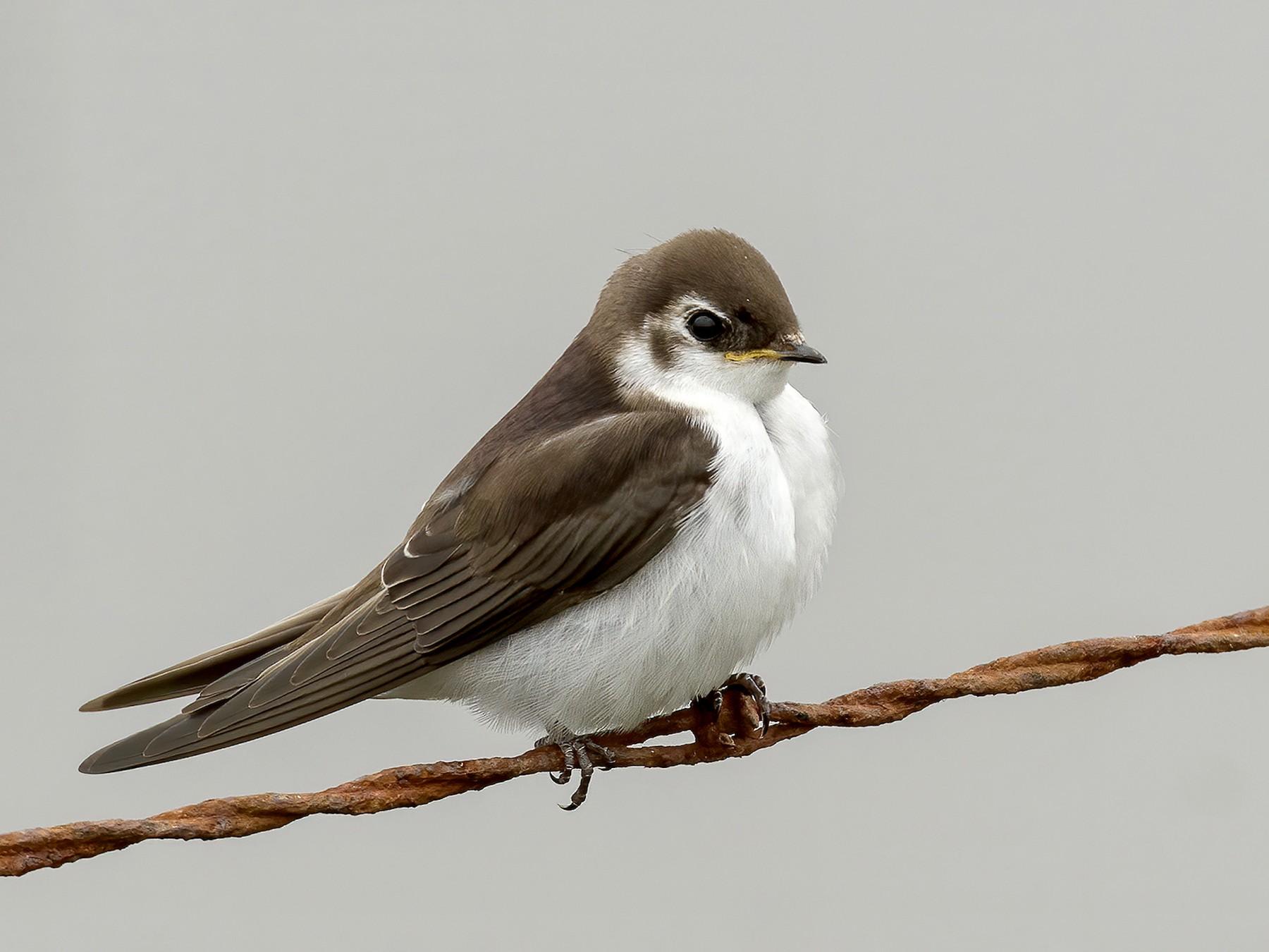 Violet-green Swallow - Rebecca Matsubara