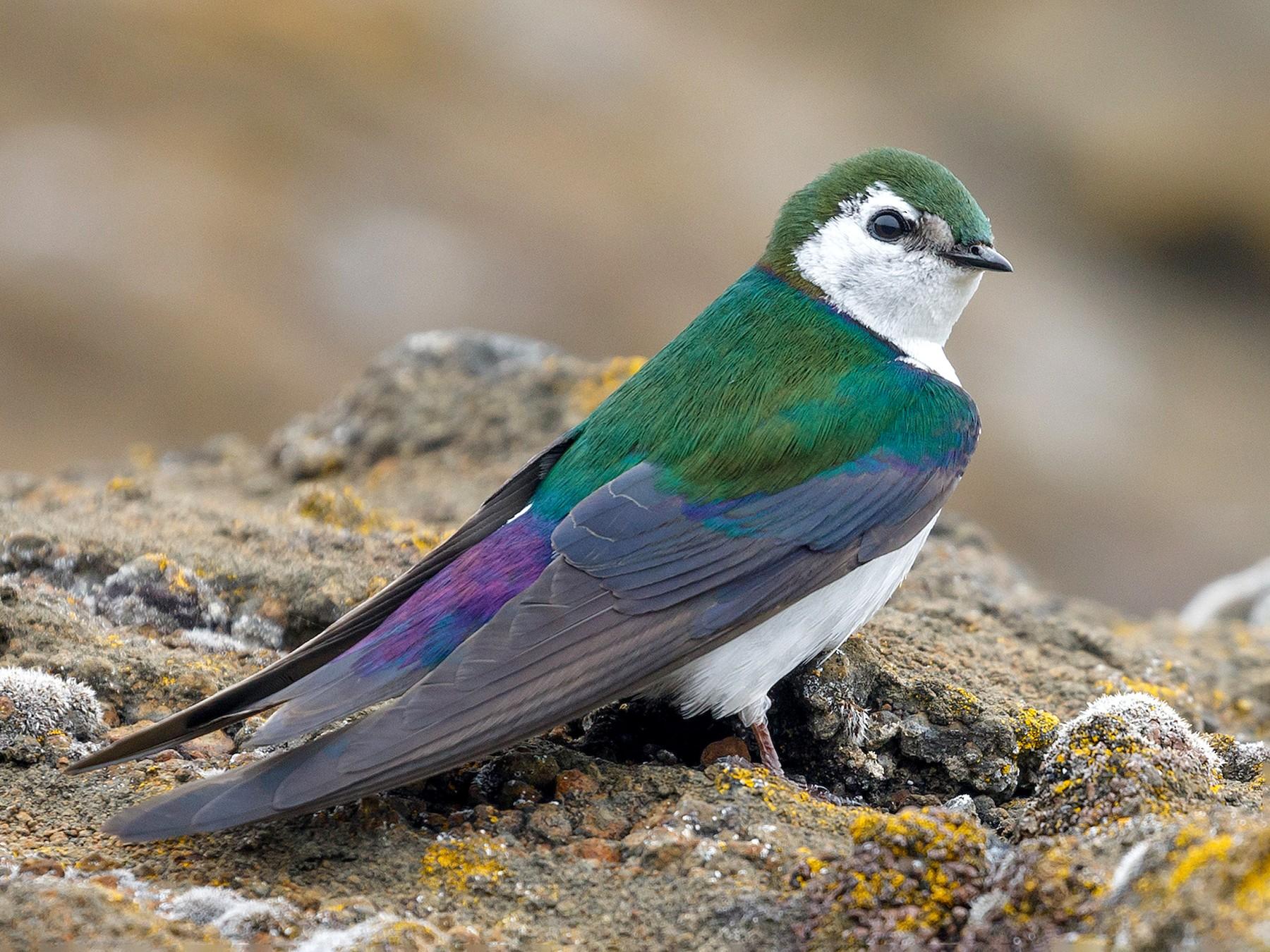 Violet-green Swallow - Darren Clark