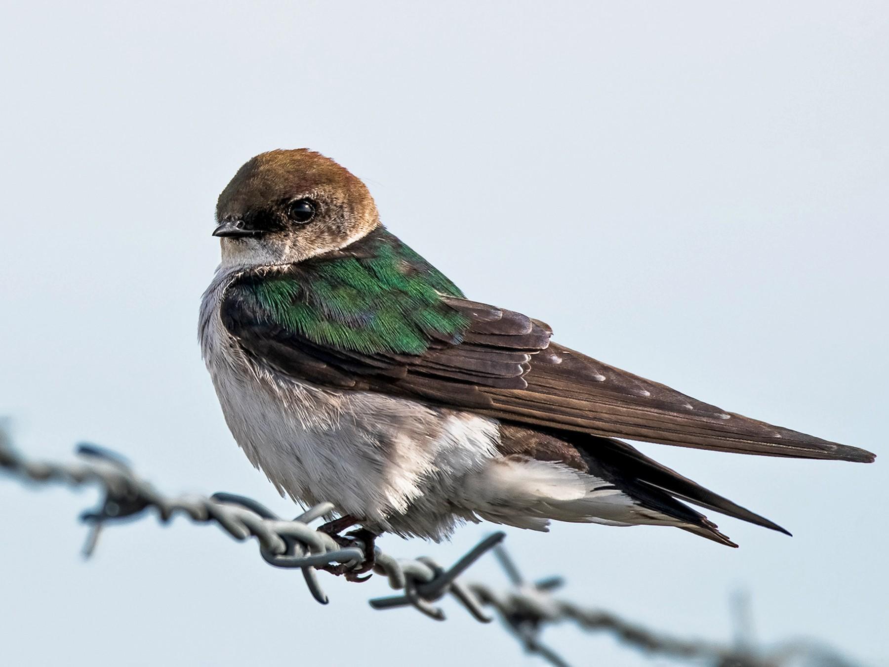 Violet-green Swallow - Garrett Hughes