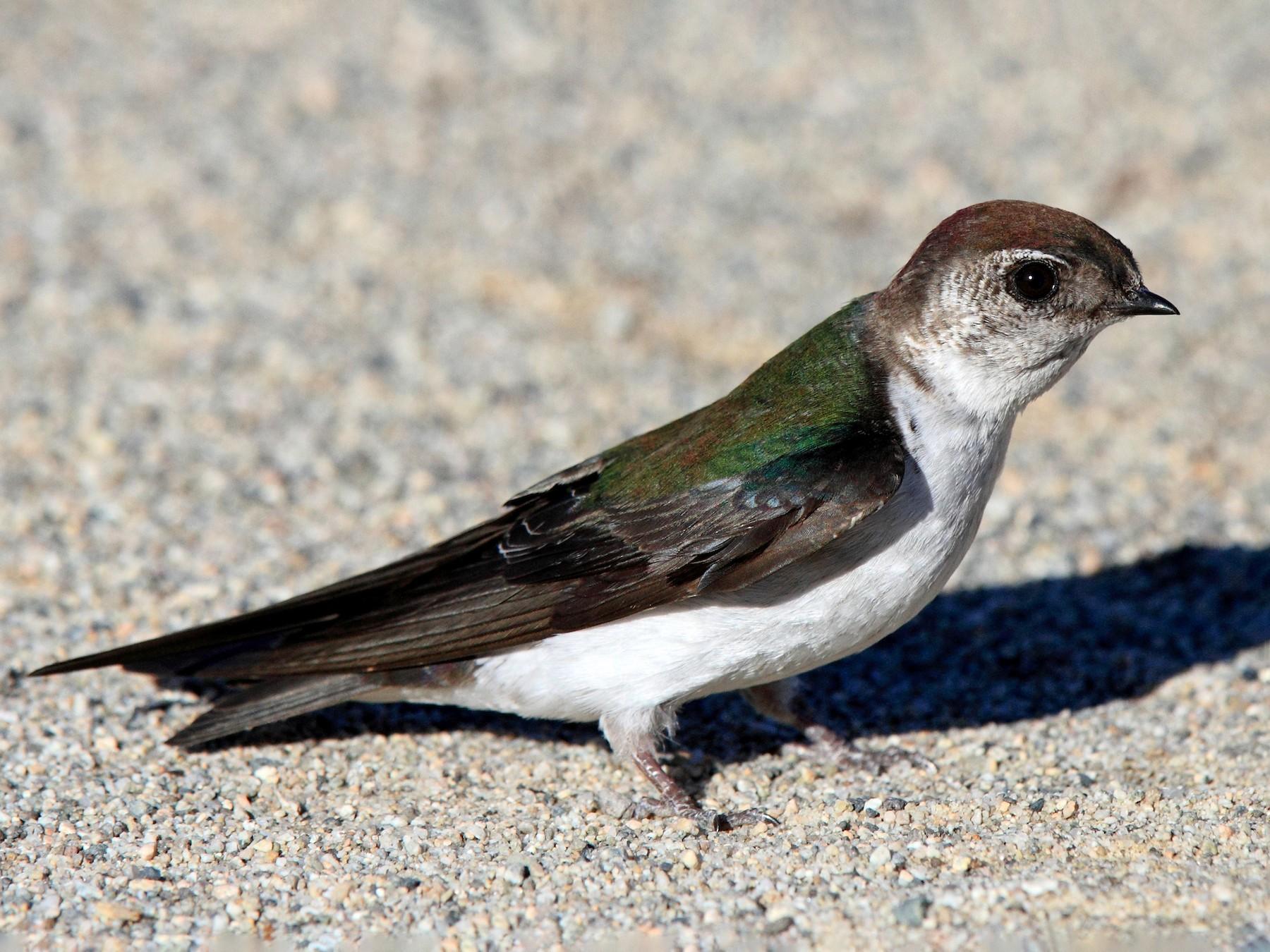 Violet-green Swallow - Laure Wilson Neish