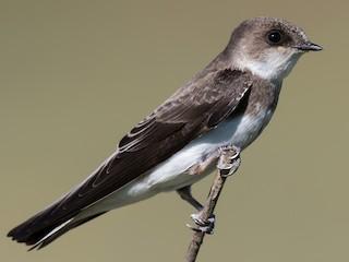 - Bank Swallow