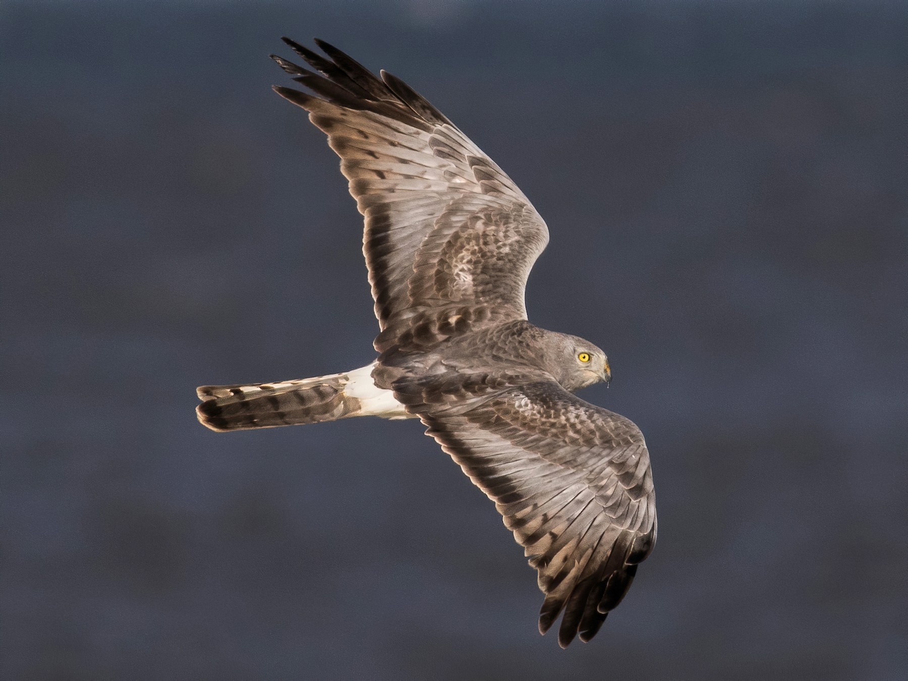 Northern Harrier - Tom Reed