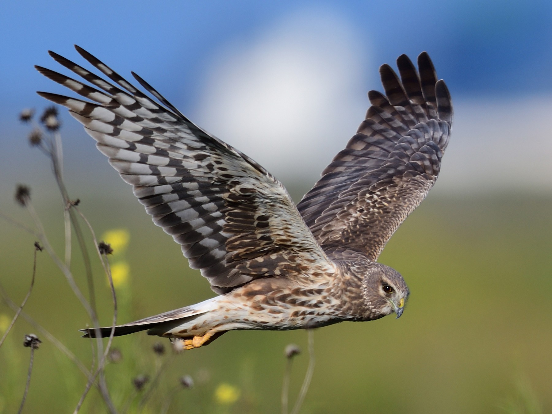 Northern Harrier - Song Yu