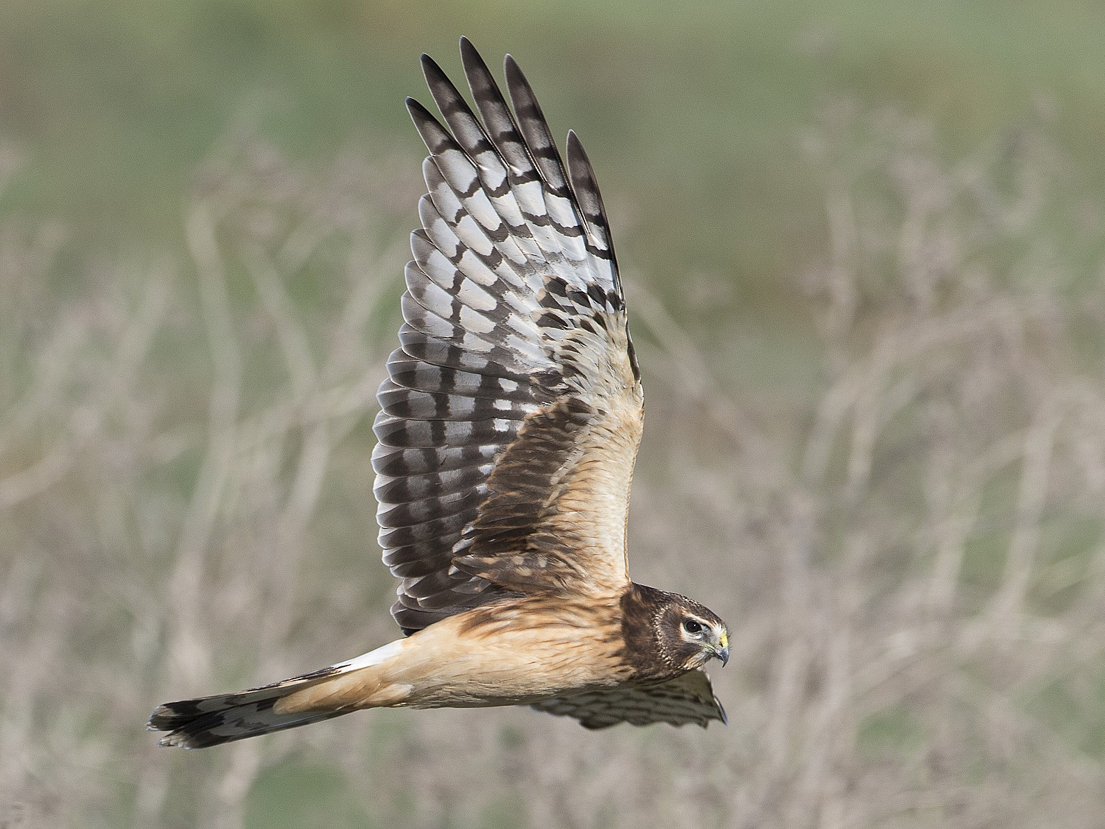 Northern Harrier - Brian Sullivan