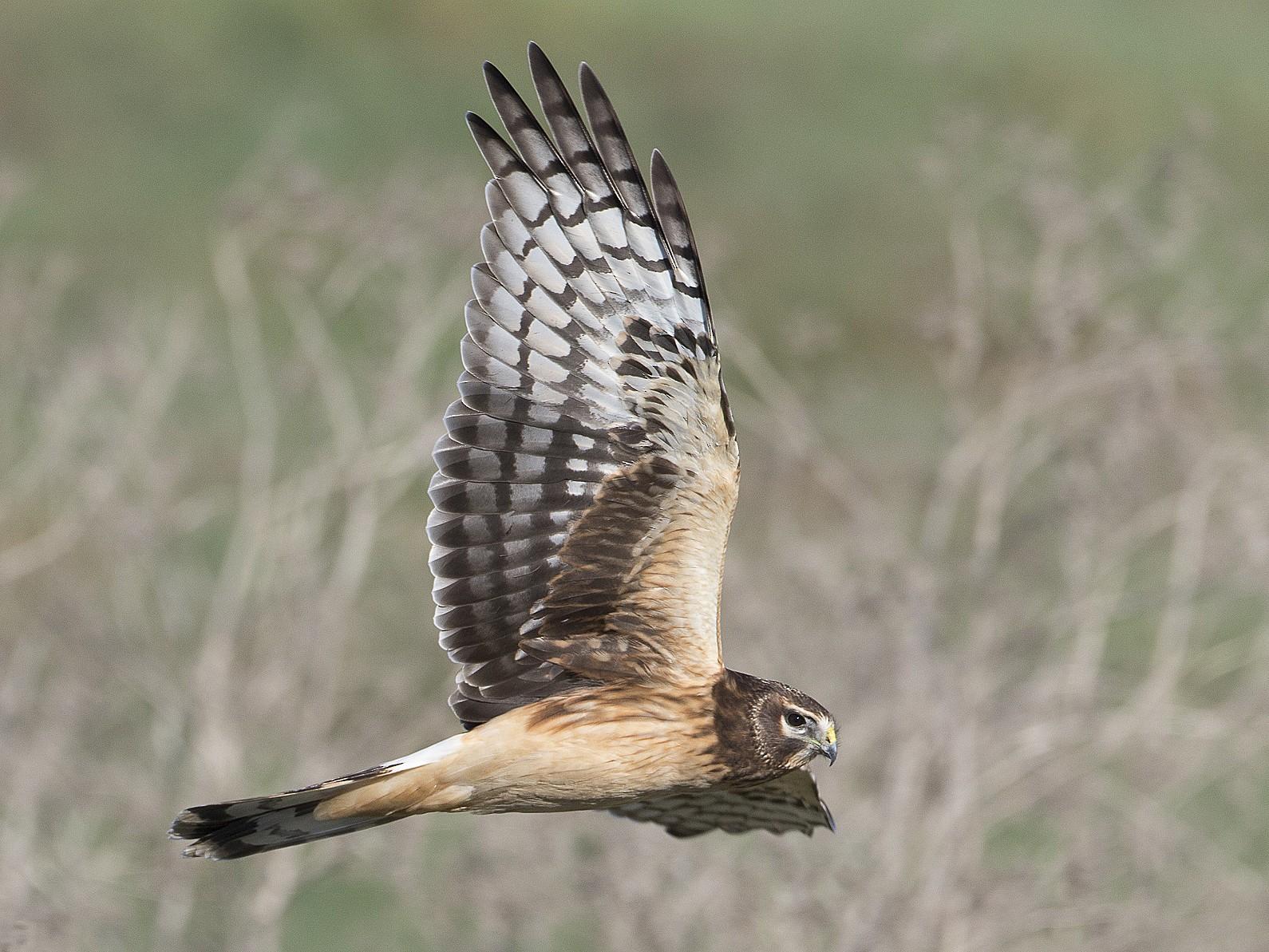 Northern Harrier - Brian Sullivan