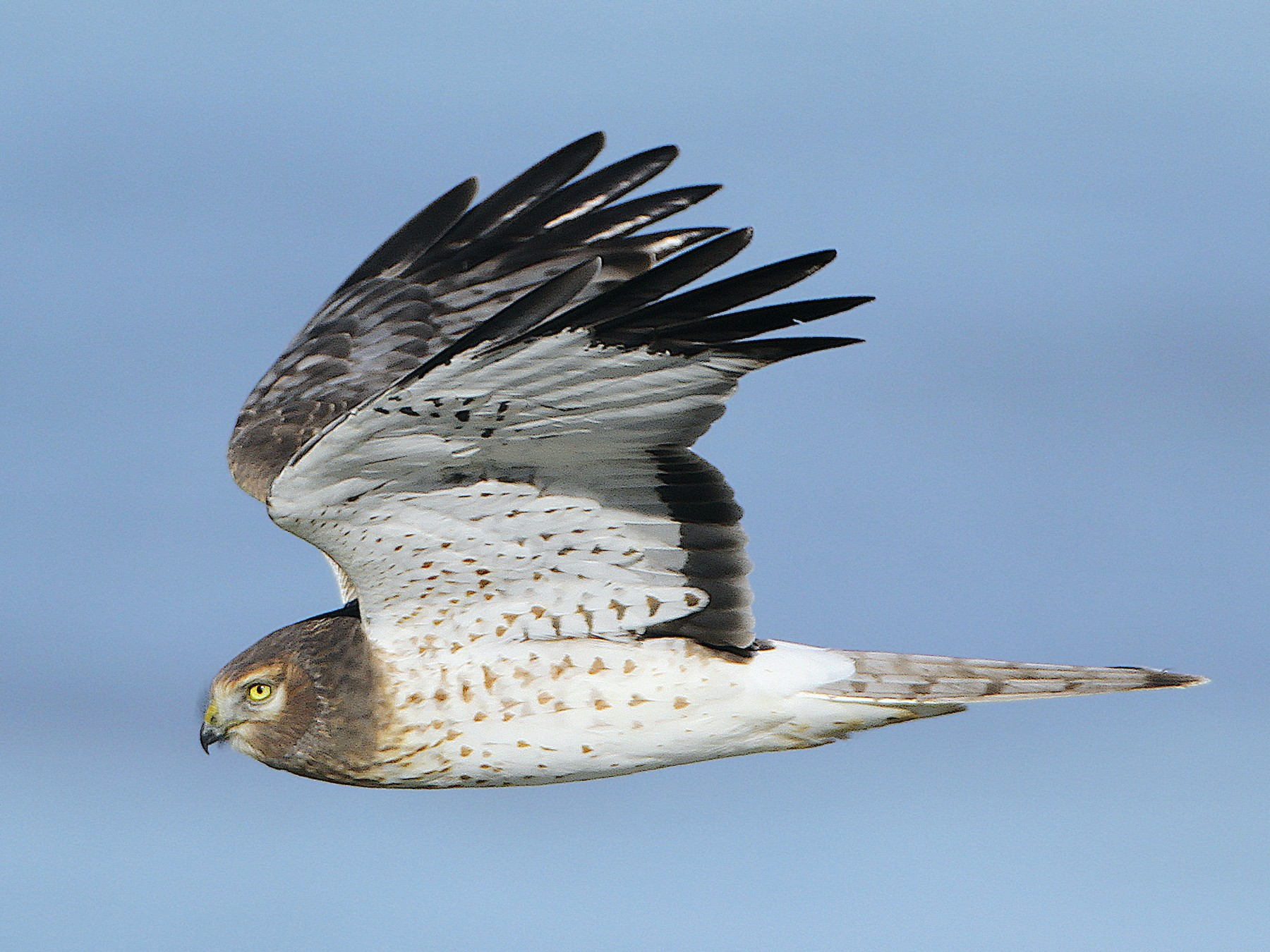 Northern Harrier - Jerry Liguori