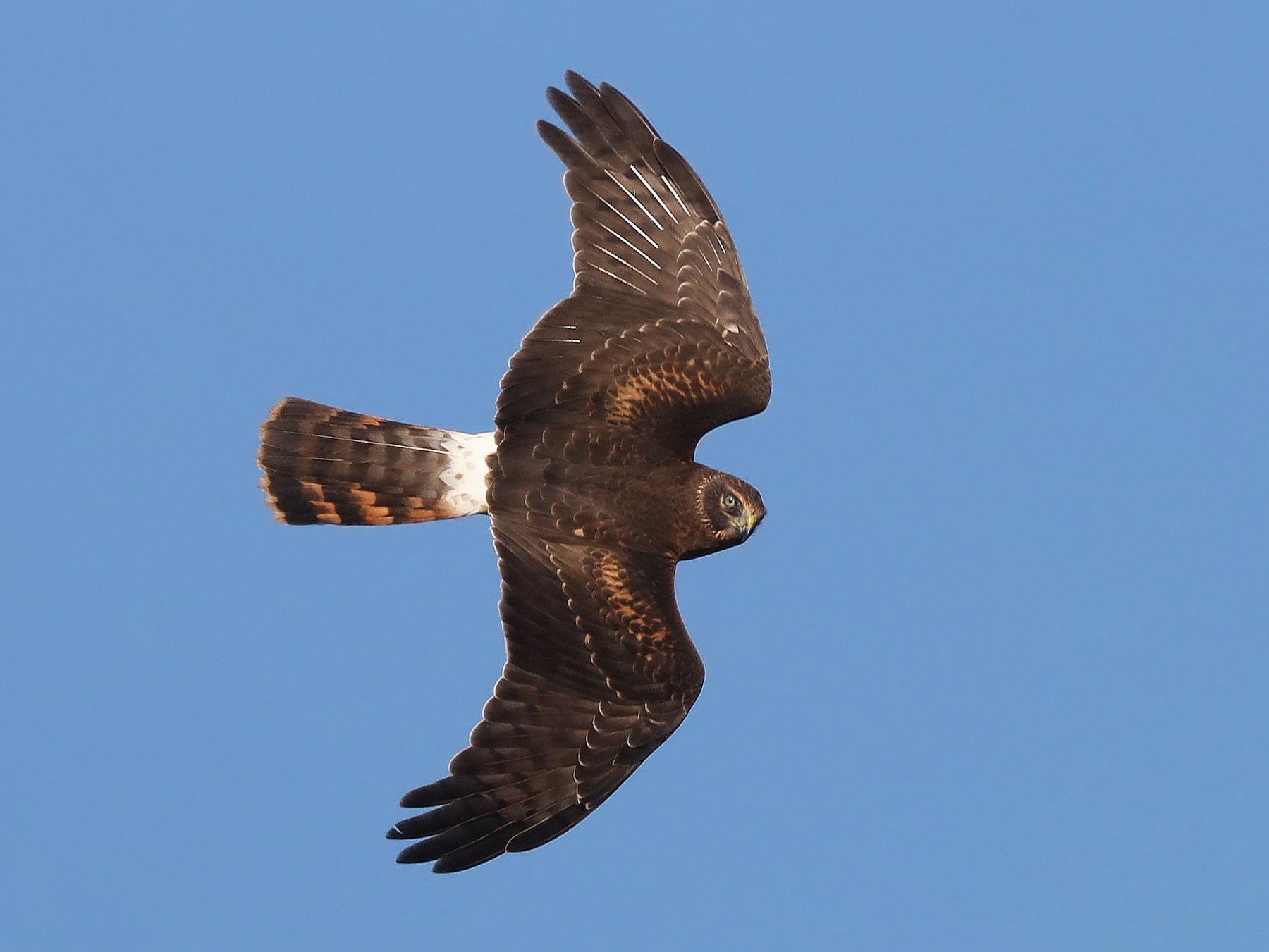 Northern Harrier - Matt Davis
