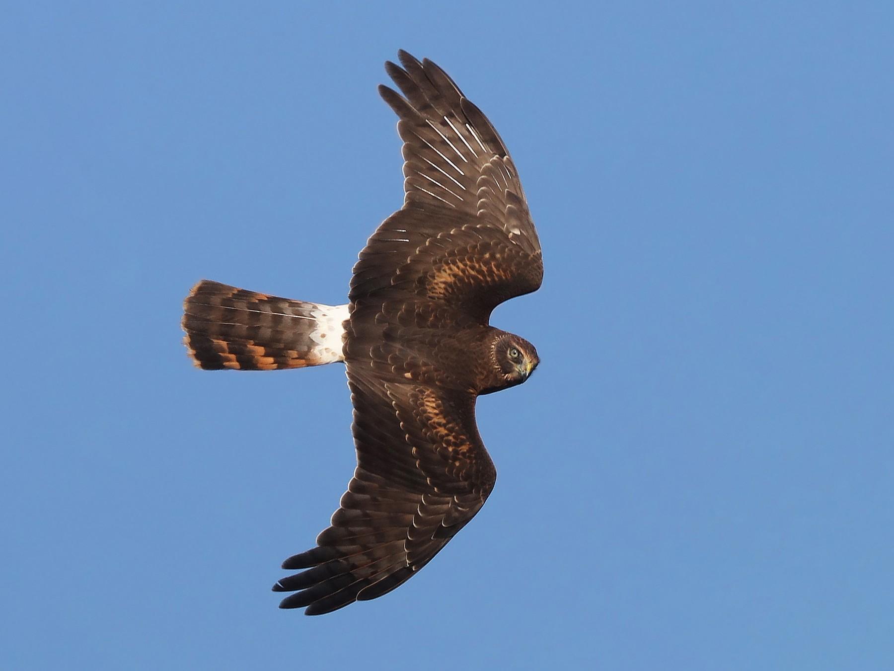 Northern Harrier - Matt Davis