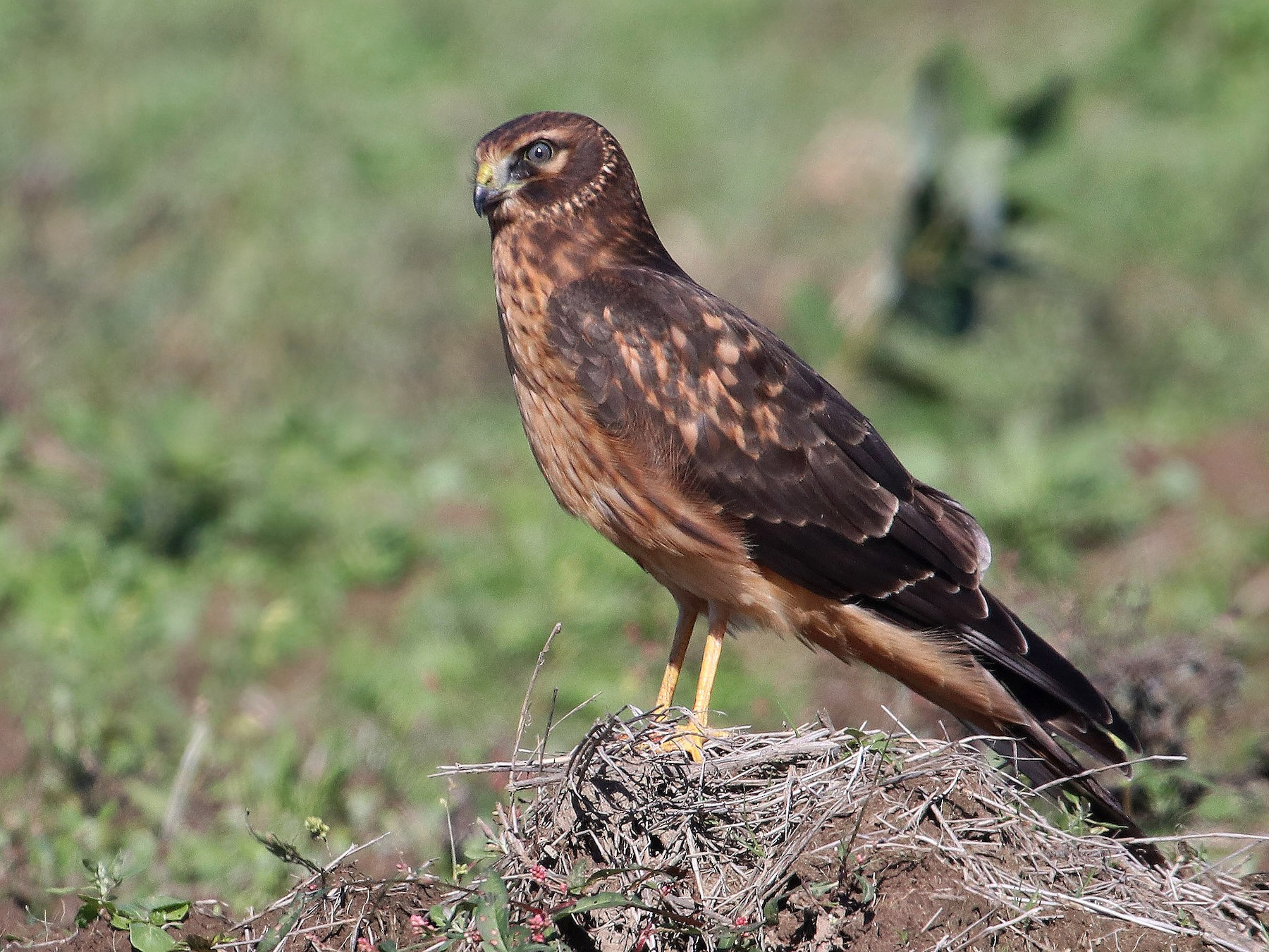 Northern Harrier - Samuel Denault
