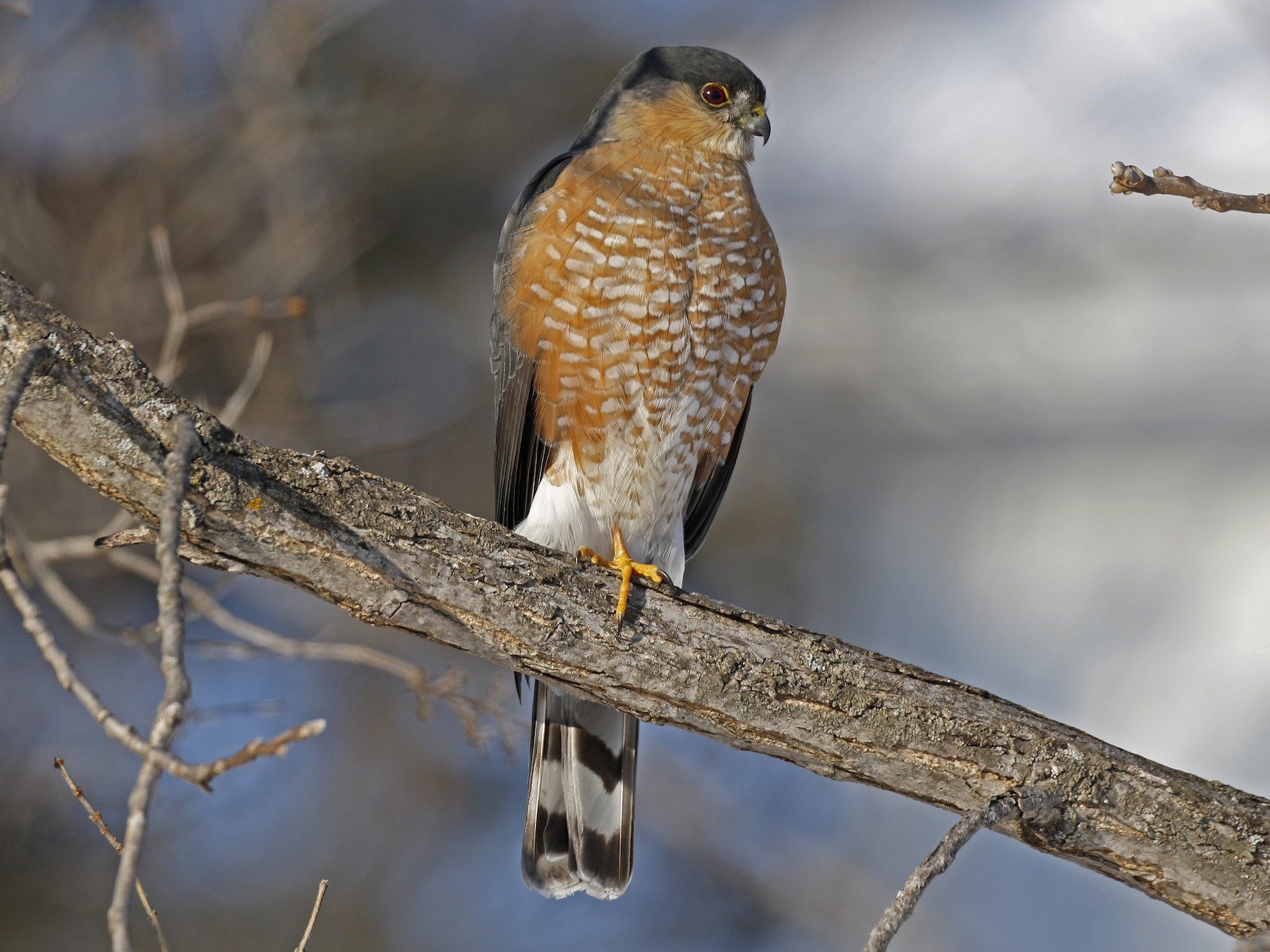 Sharp-shinned Hawk - David McQuade