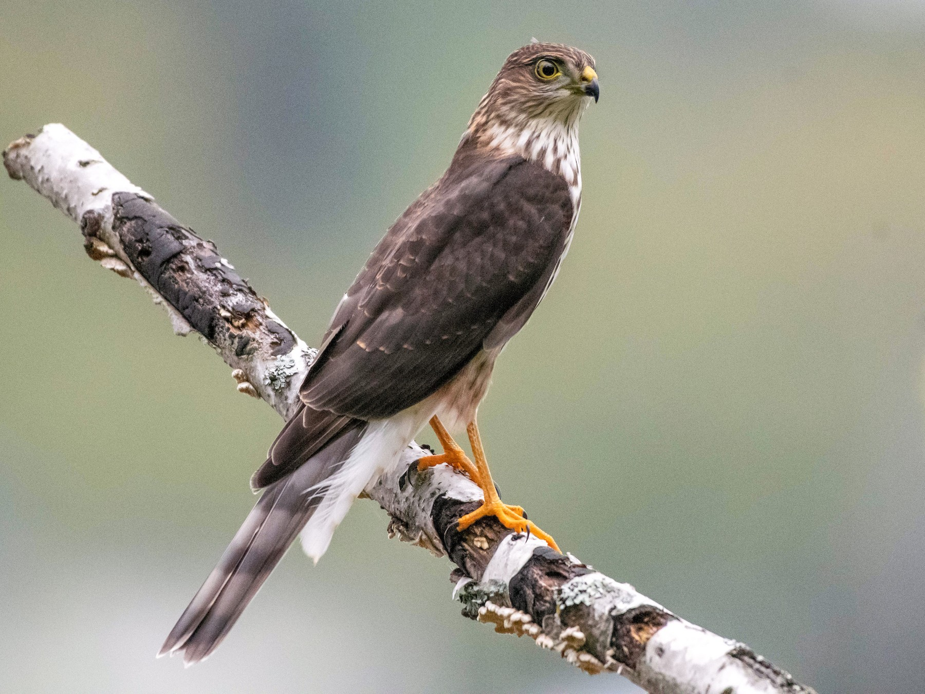 Sharp-shinned Hawk - Annie Lavoie