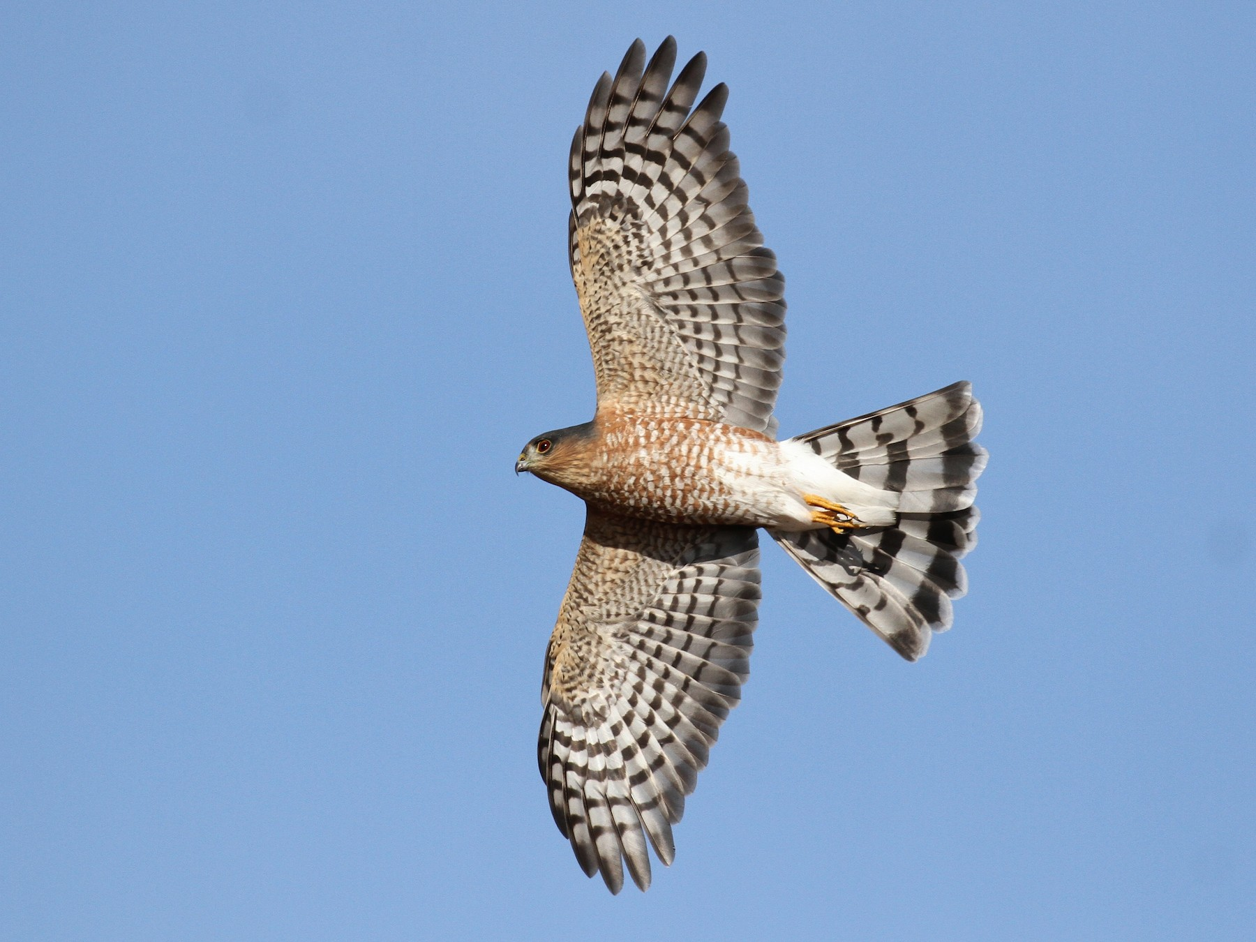 Sharp-shinned Hawk - Alex Lamoreaux