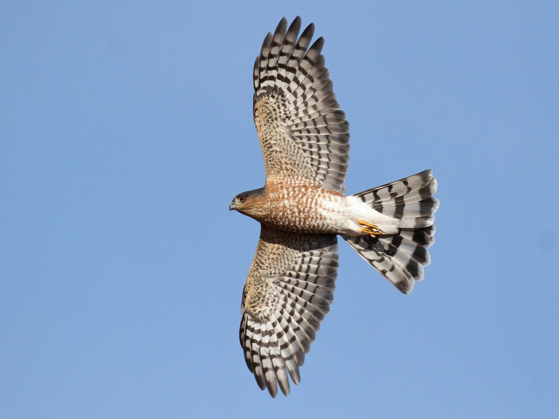 Sharp-shinned Hawk - Alex Lamoreaux
