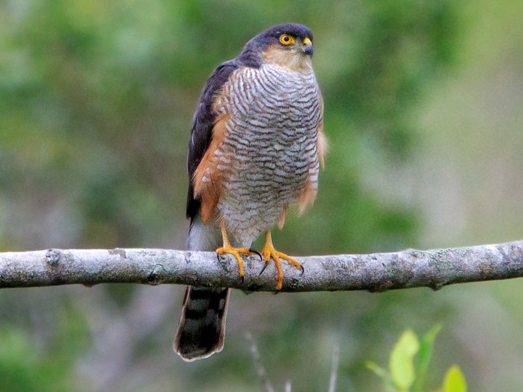Sharp-shinned Hawk - Fernando Farias