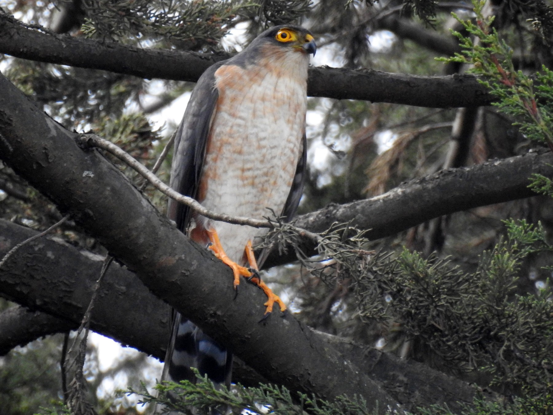Sharp-shinned Hawk - Luis Rodriguez