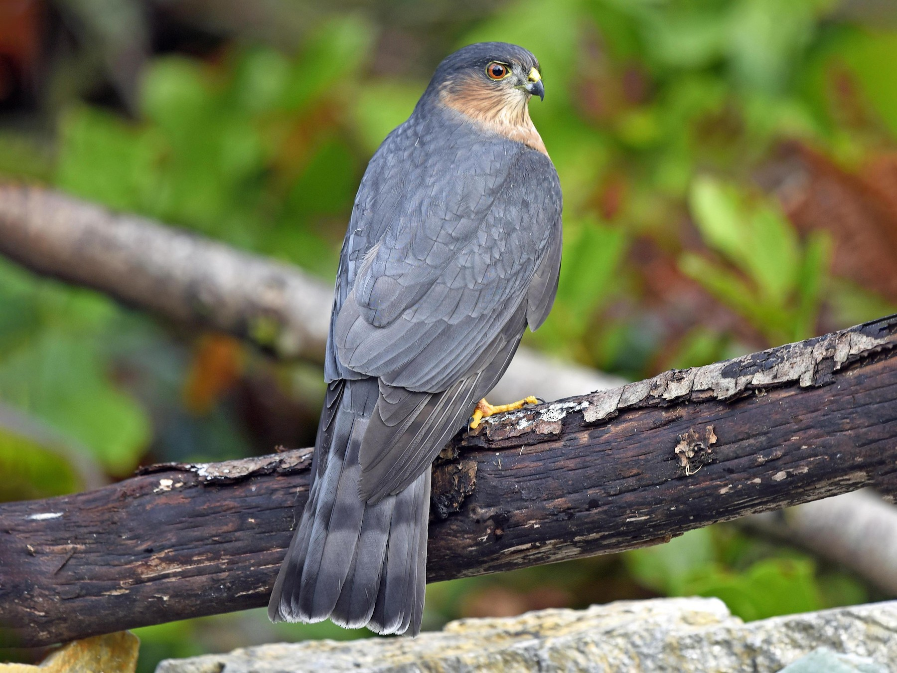 Sharp-shinned Hawk - Vickie Anderson