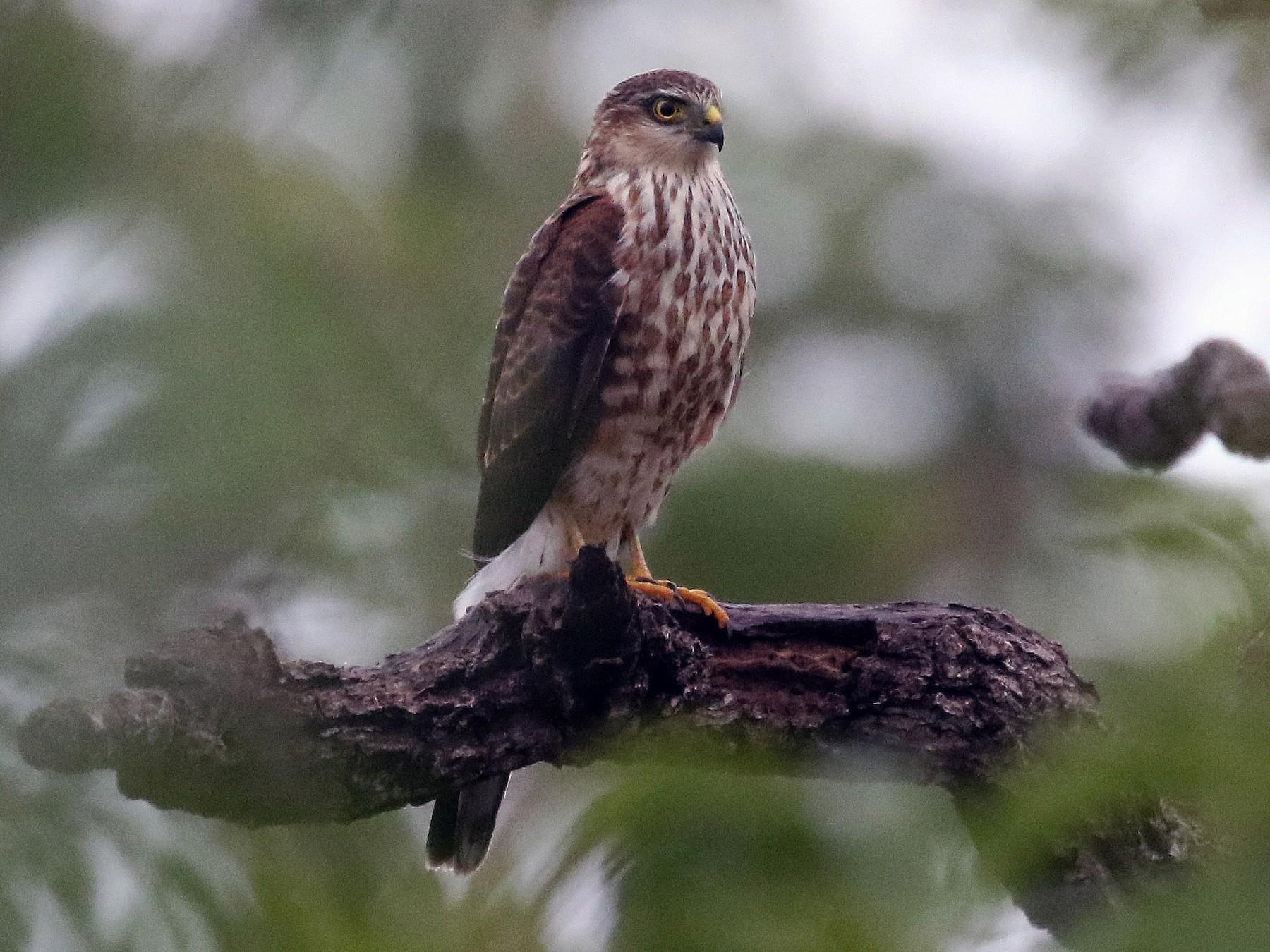 Sharp-shinned Hawk - Jayrson Oliveira