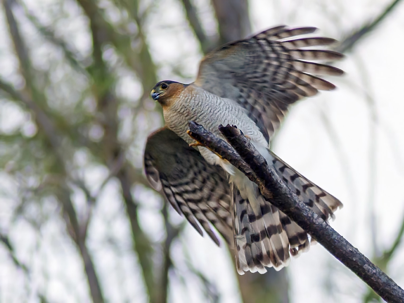 Sharp-shinned Hawk - Michel Asselin