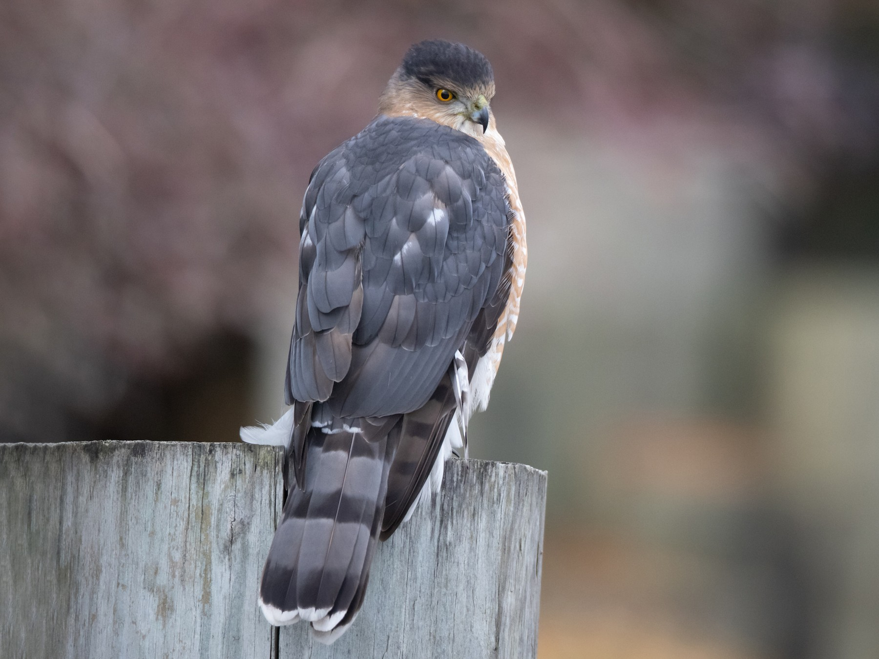 Cooper's Hawk - Brendan Klick