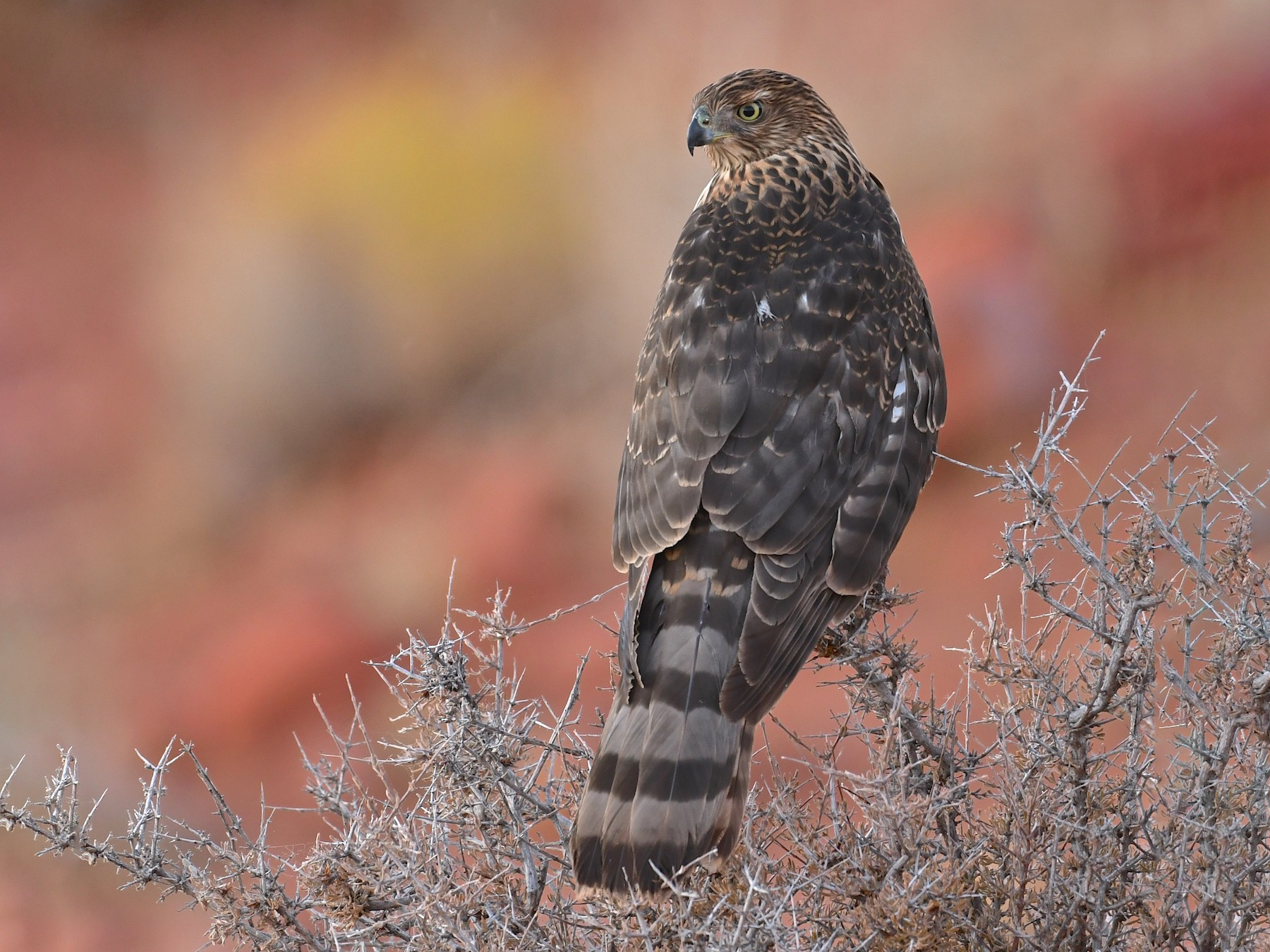 Cooper's Hawk - Mike Schijf