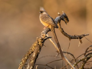 - Speckled Mousebird