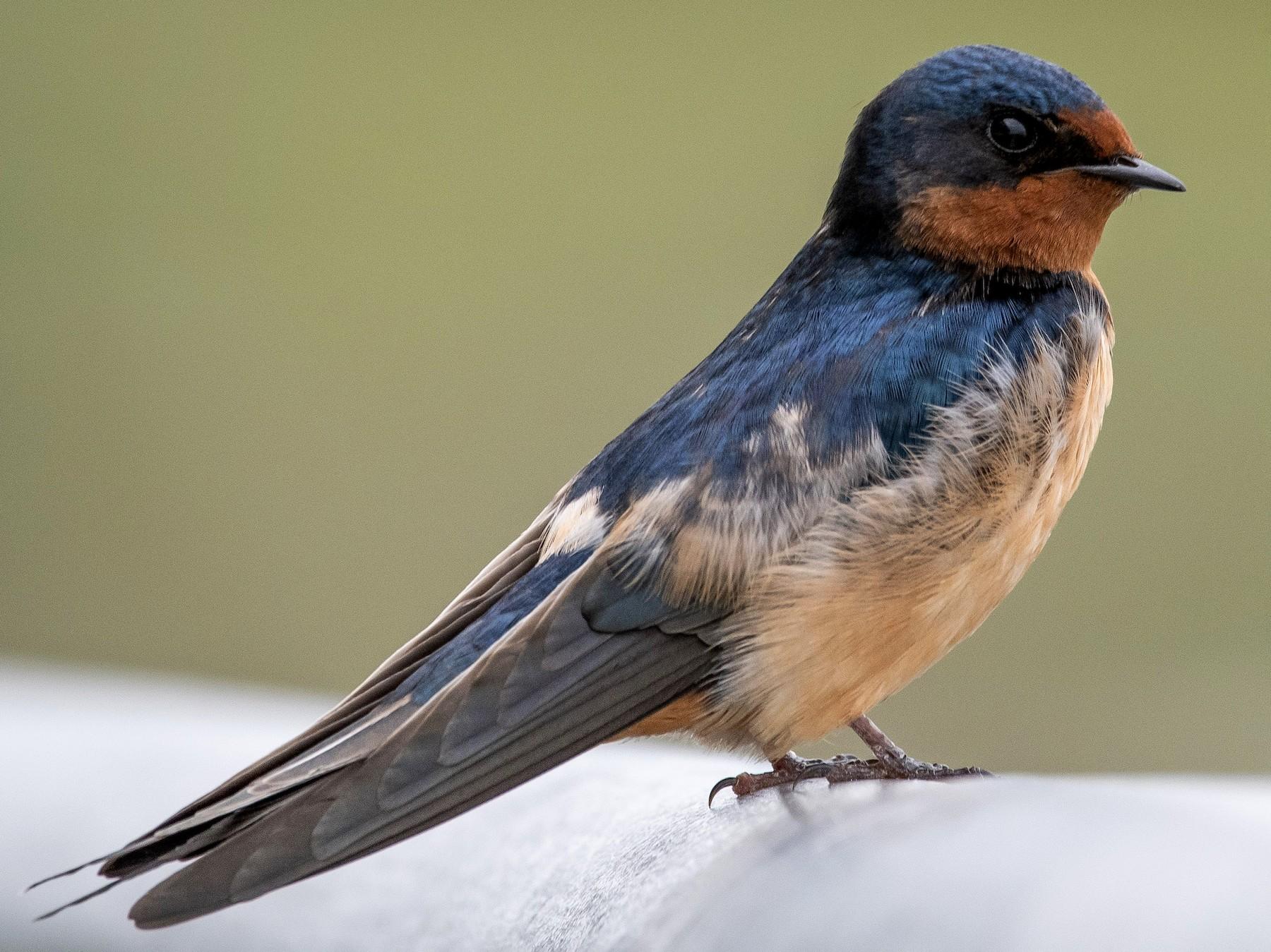 Barn Swallow - Mason Maron