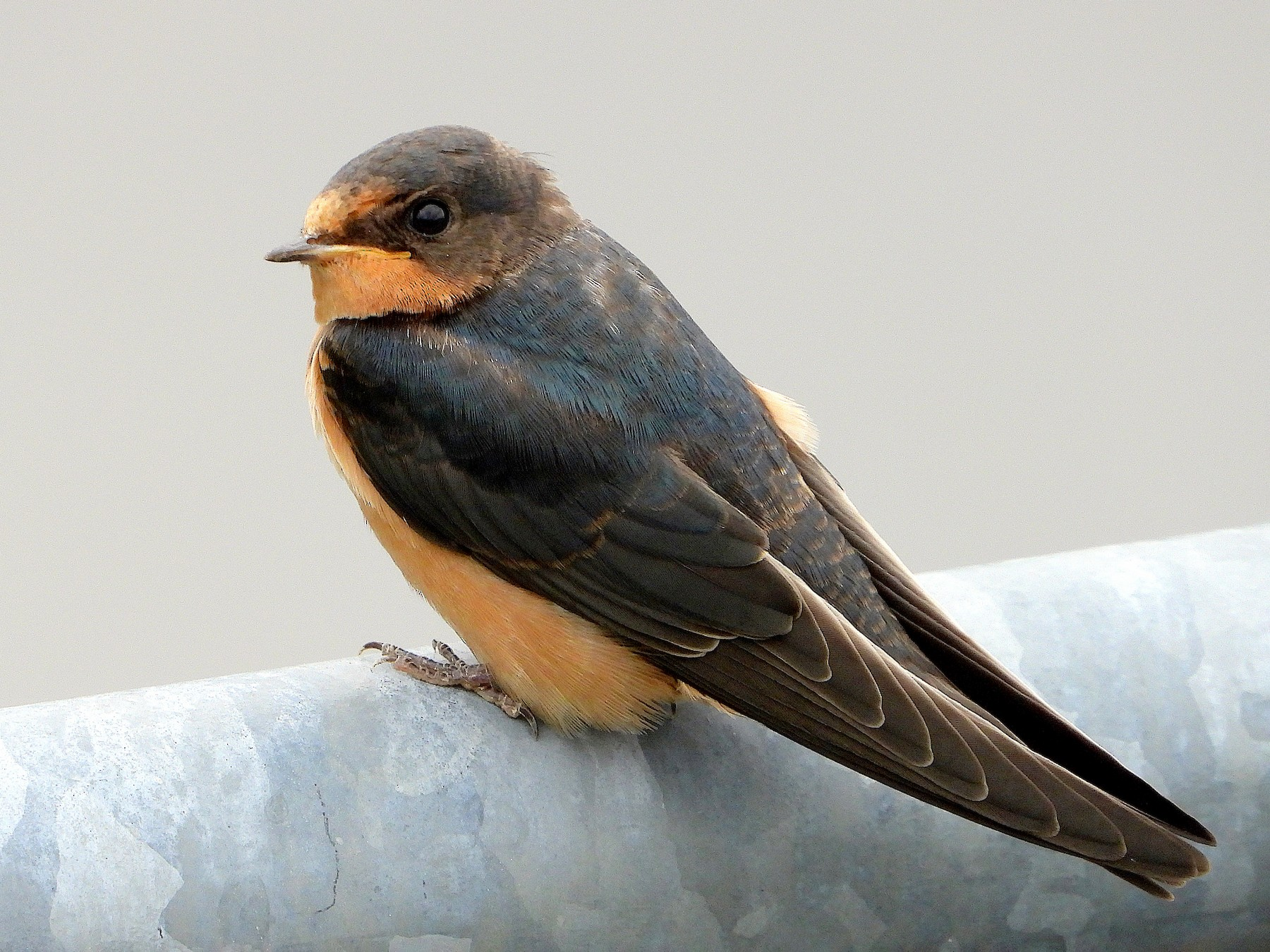 Barn Swallow - Farshad Pourmalek