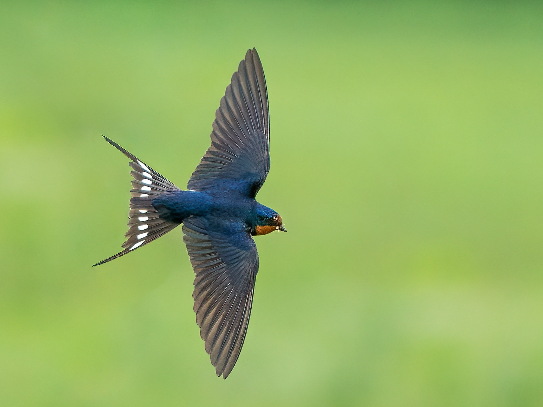 Barn Swallow - Ryan Sanderson