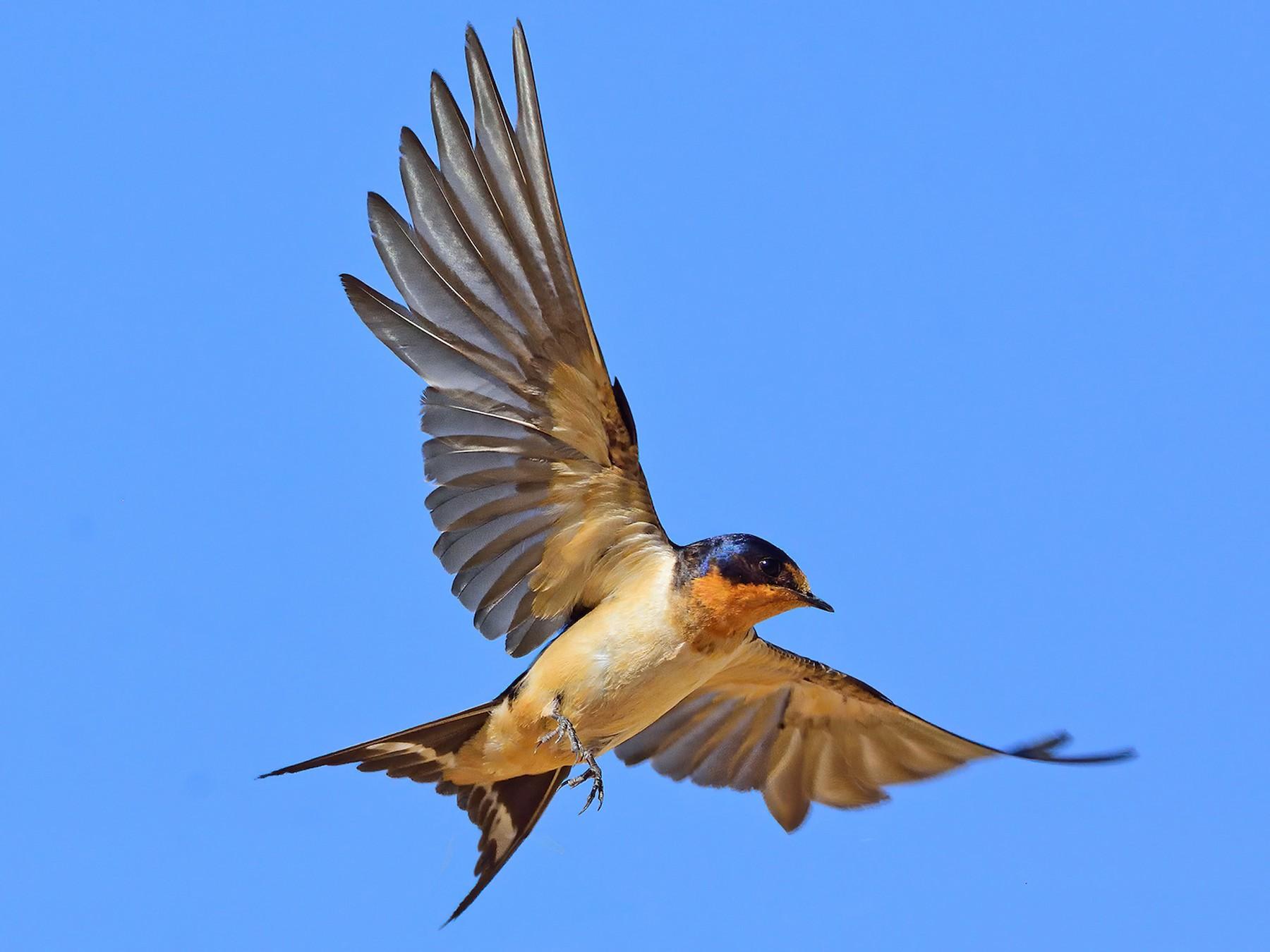 Barn Swallow - Ad Konings