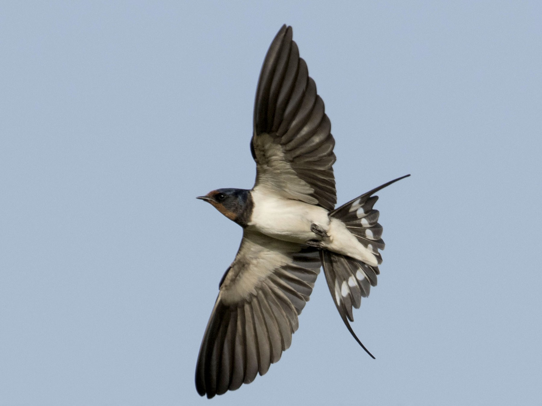 Barn Swallow - Huw Roberts