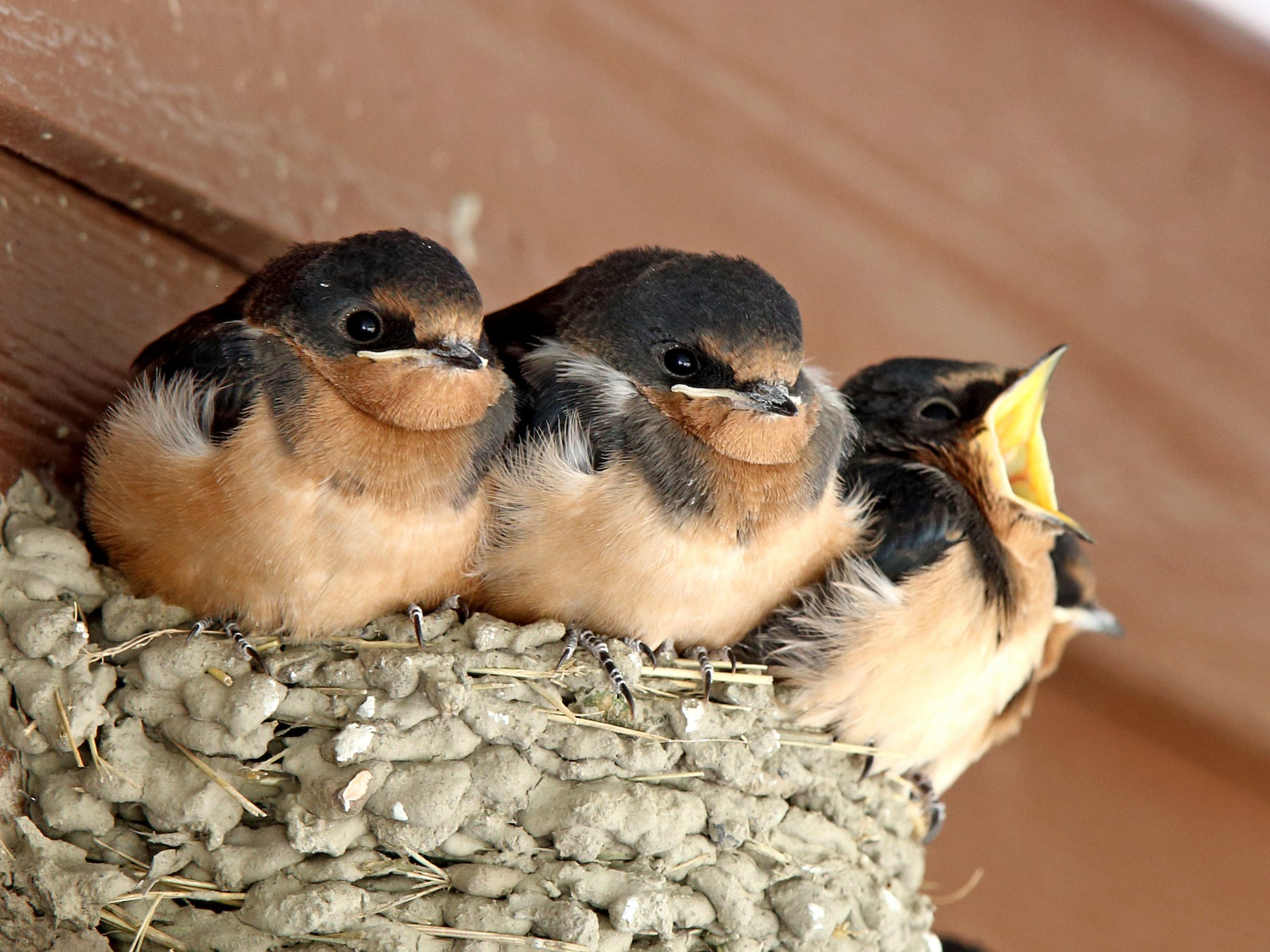 Barn Swallow - Laure Wilson Neish