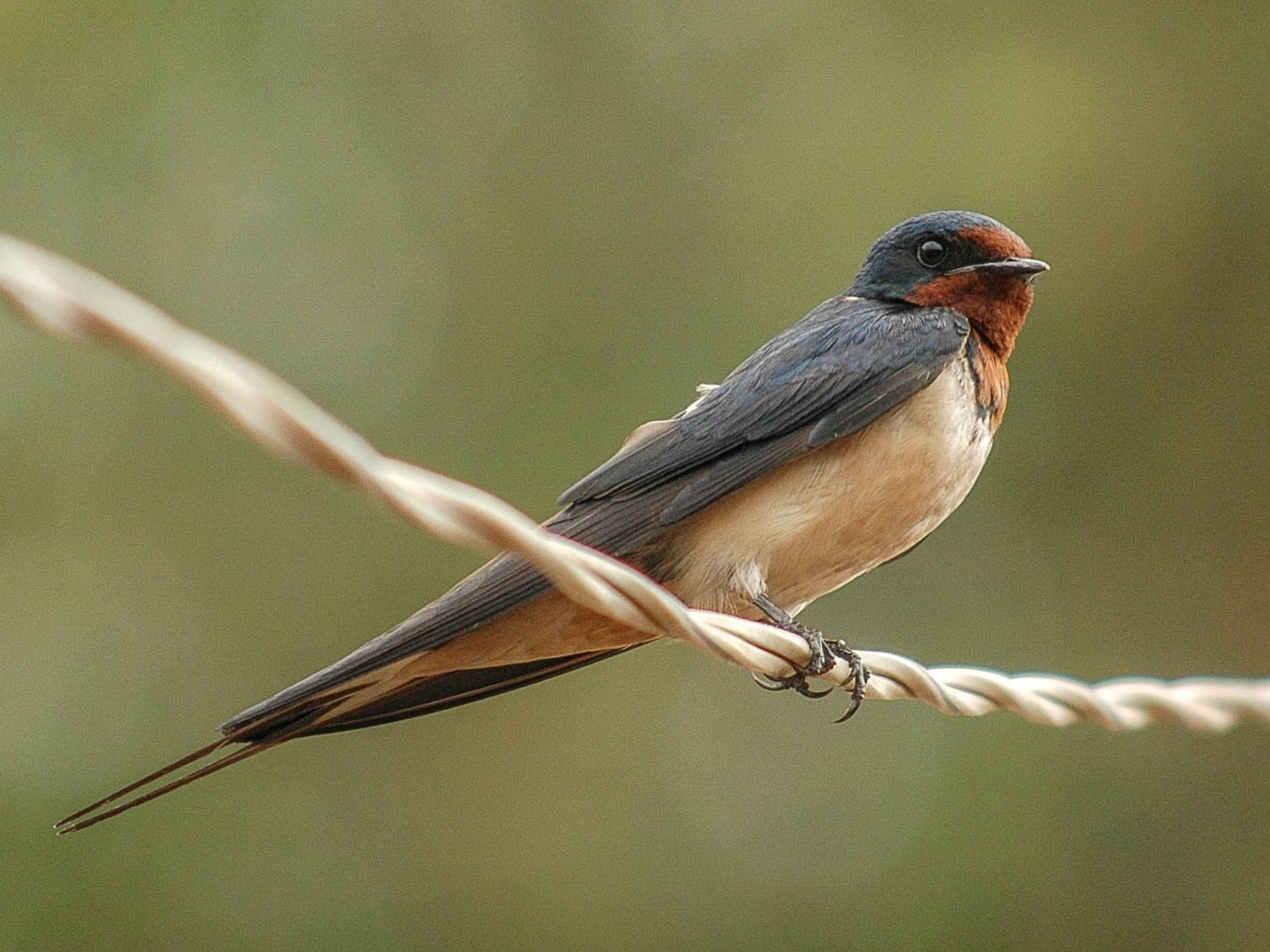 Barn Swallow - Itamar Donitza