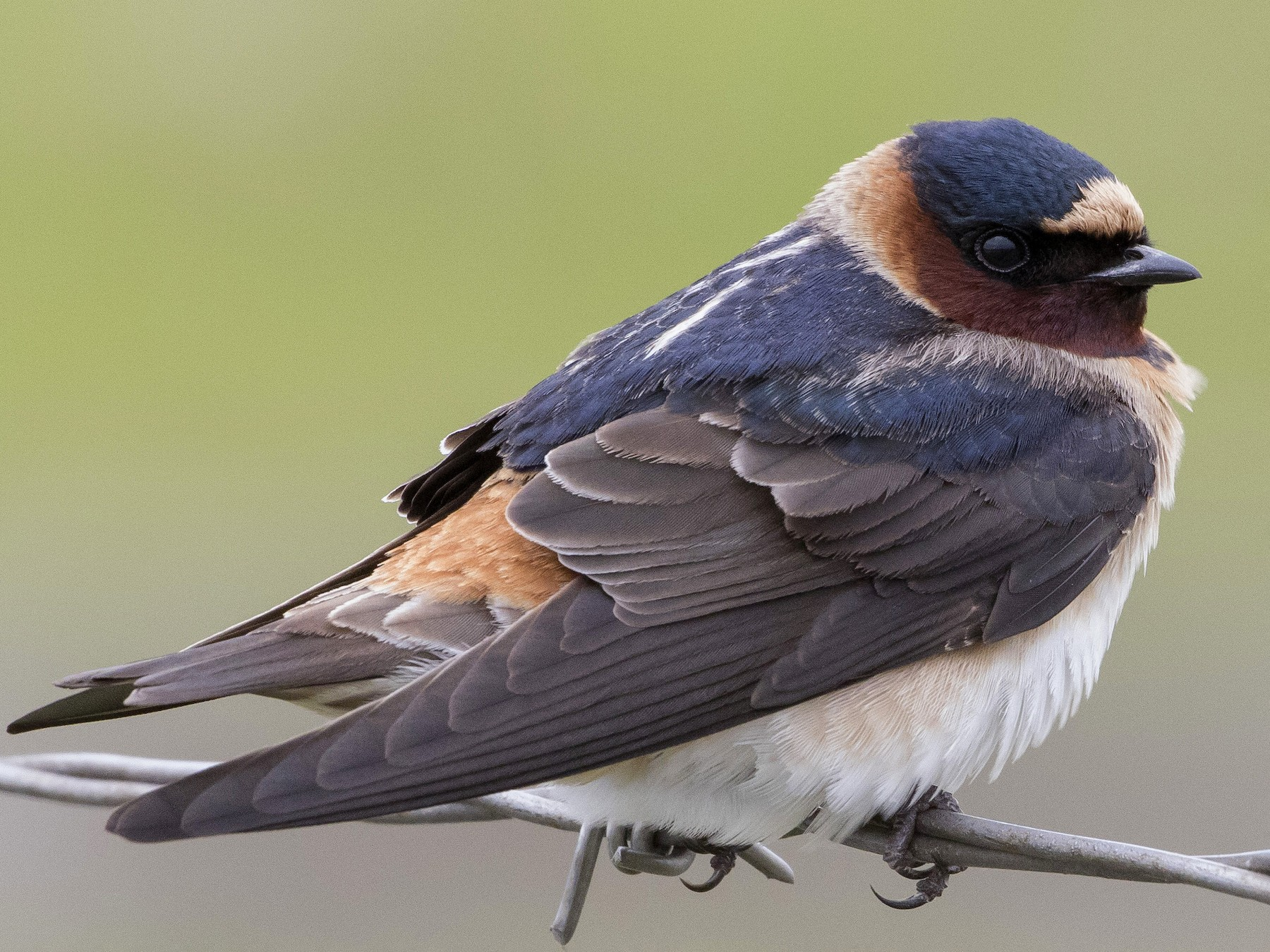 Cliff Swallow - Caleb Putnam