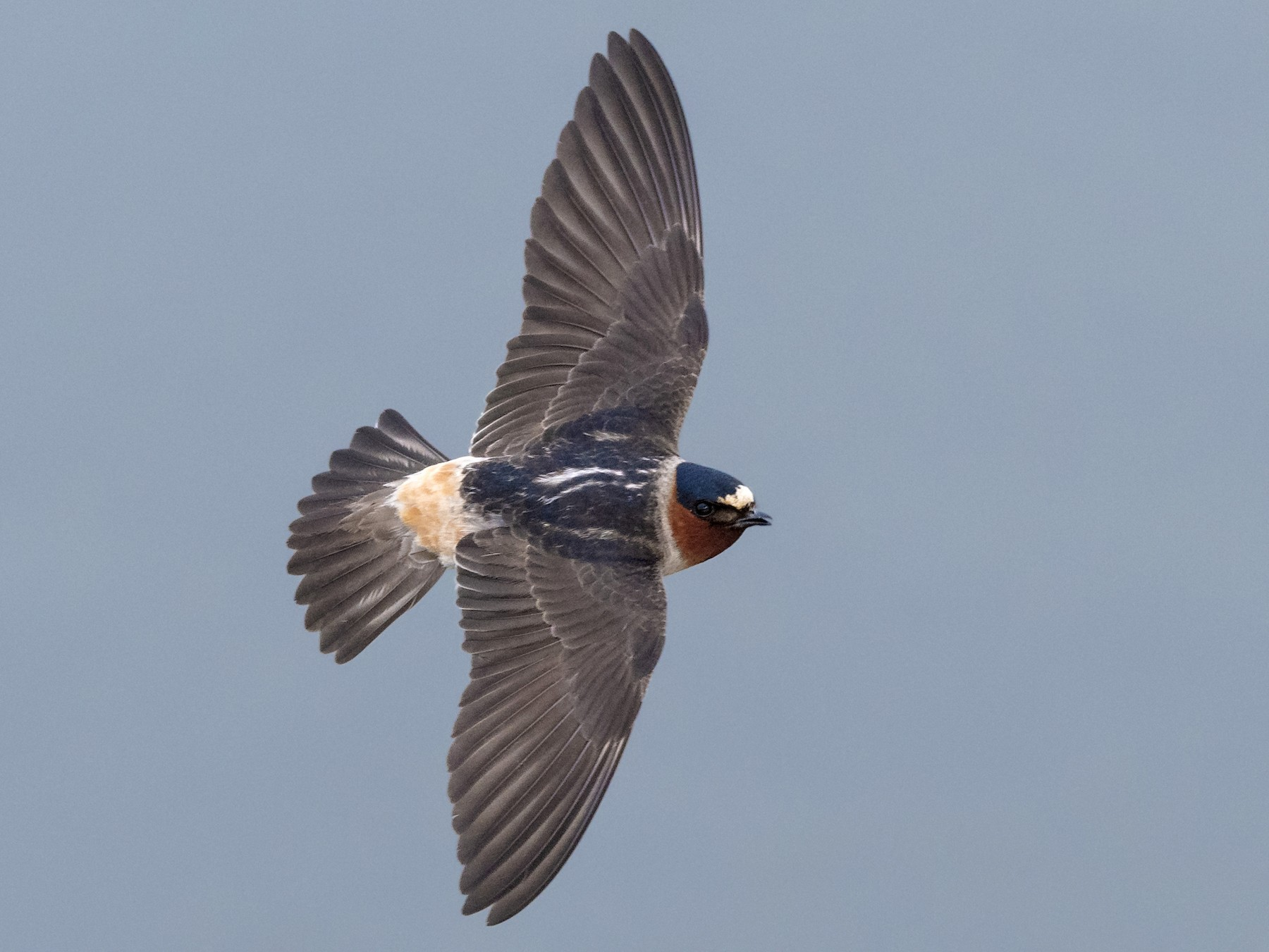 Cliff Swallow - Bryan Calk