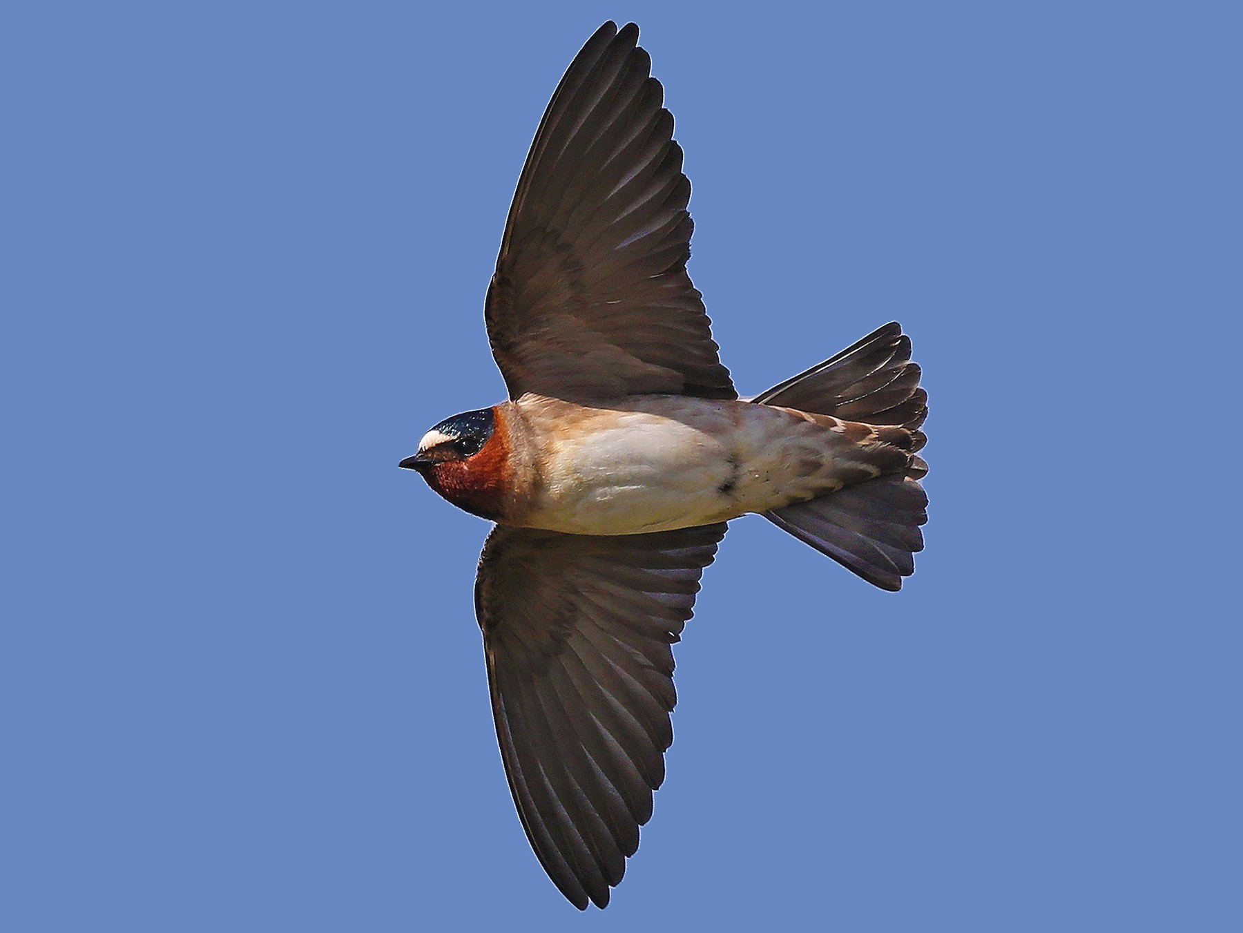 Cliff Swallow - Matt Davis
