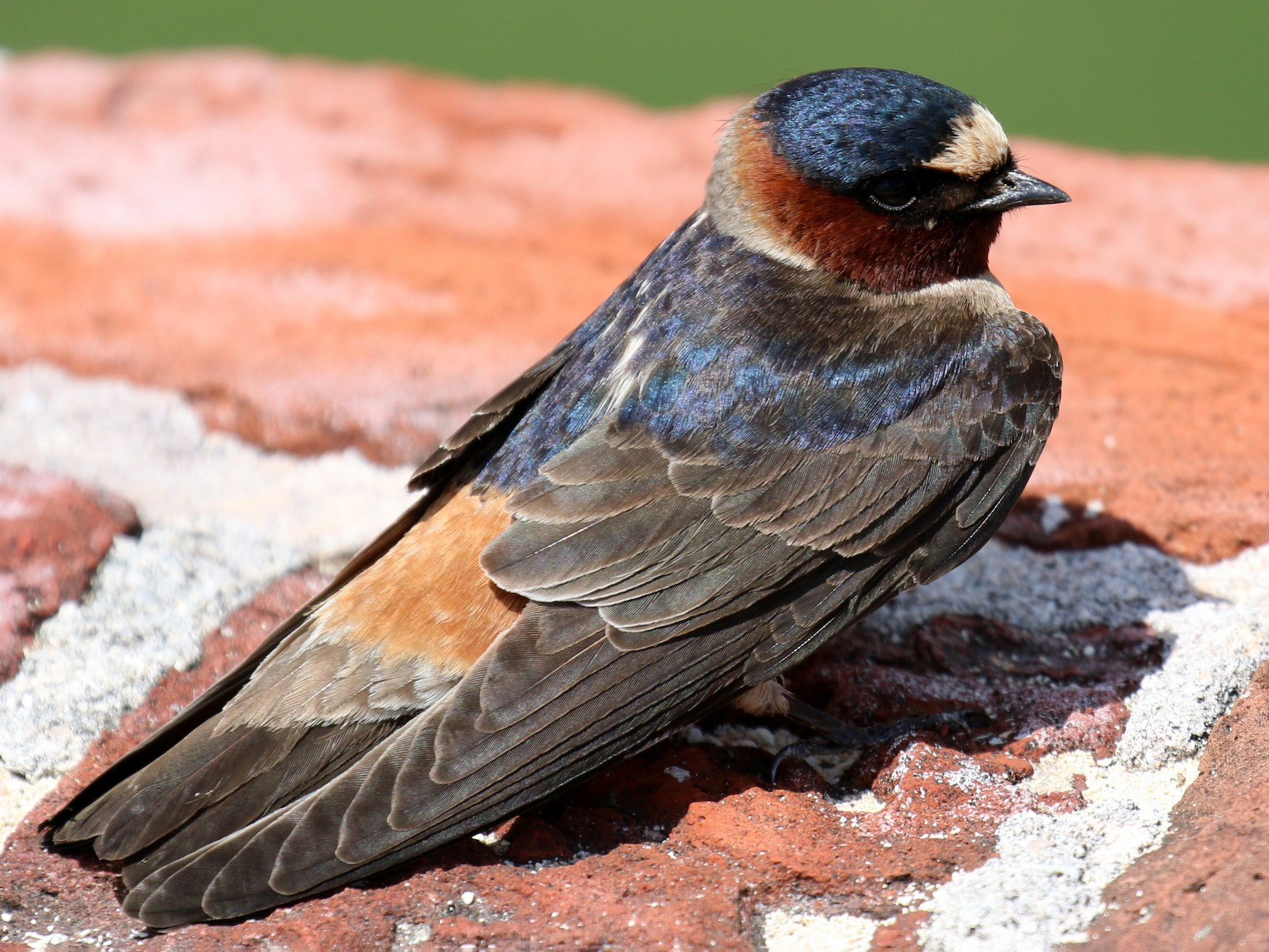 Cliff Swallow - David Carr