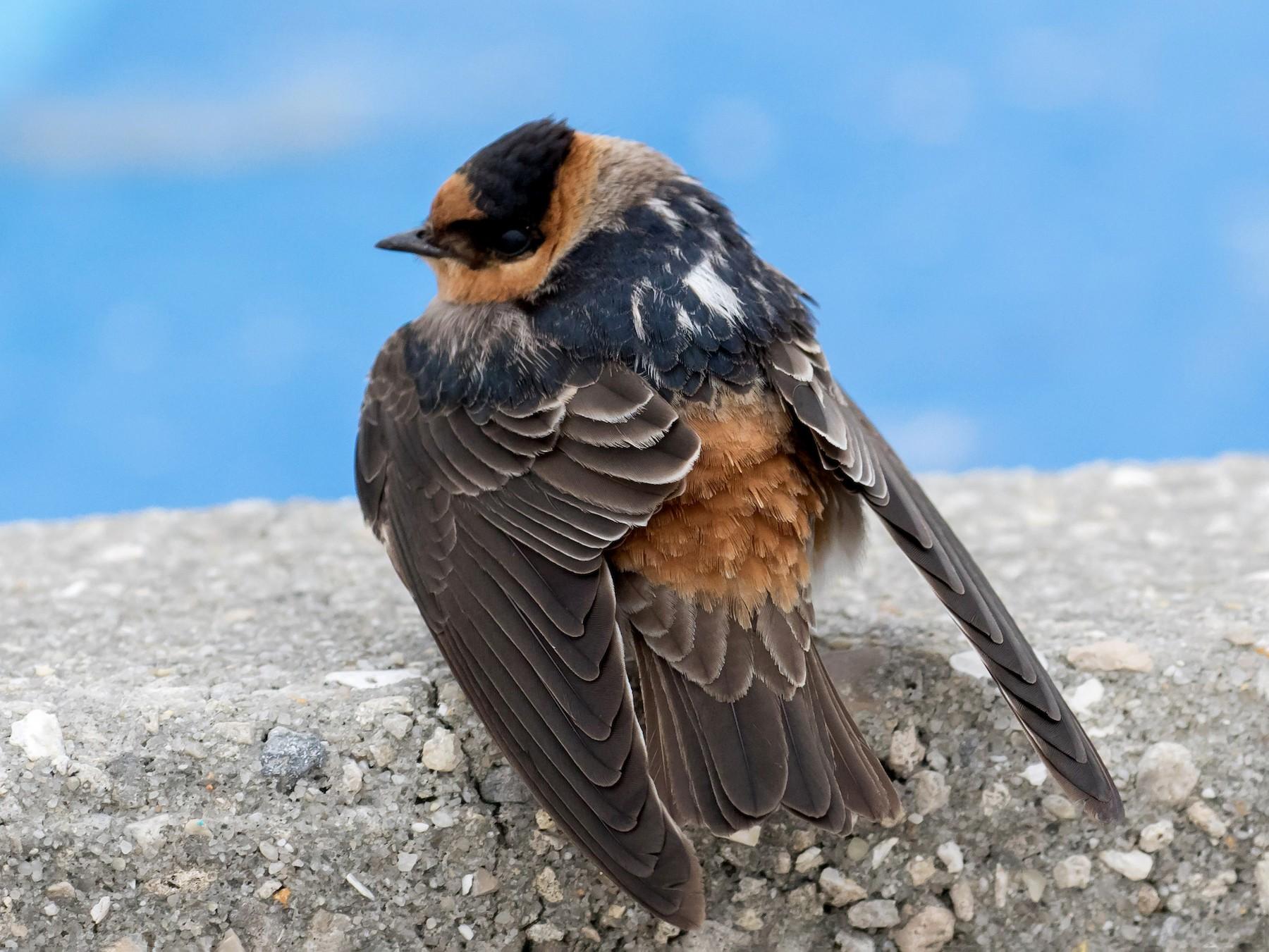 Cave Swallow - Brett Hoffman
