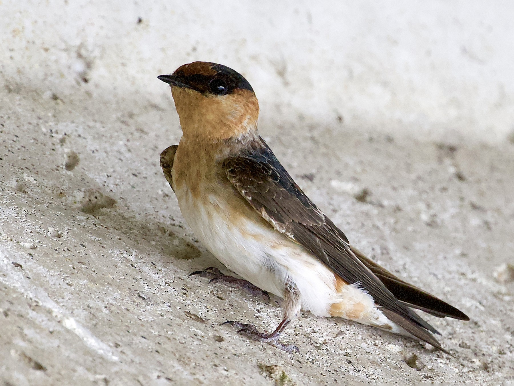 Cave Swallow - Holly Merker